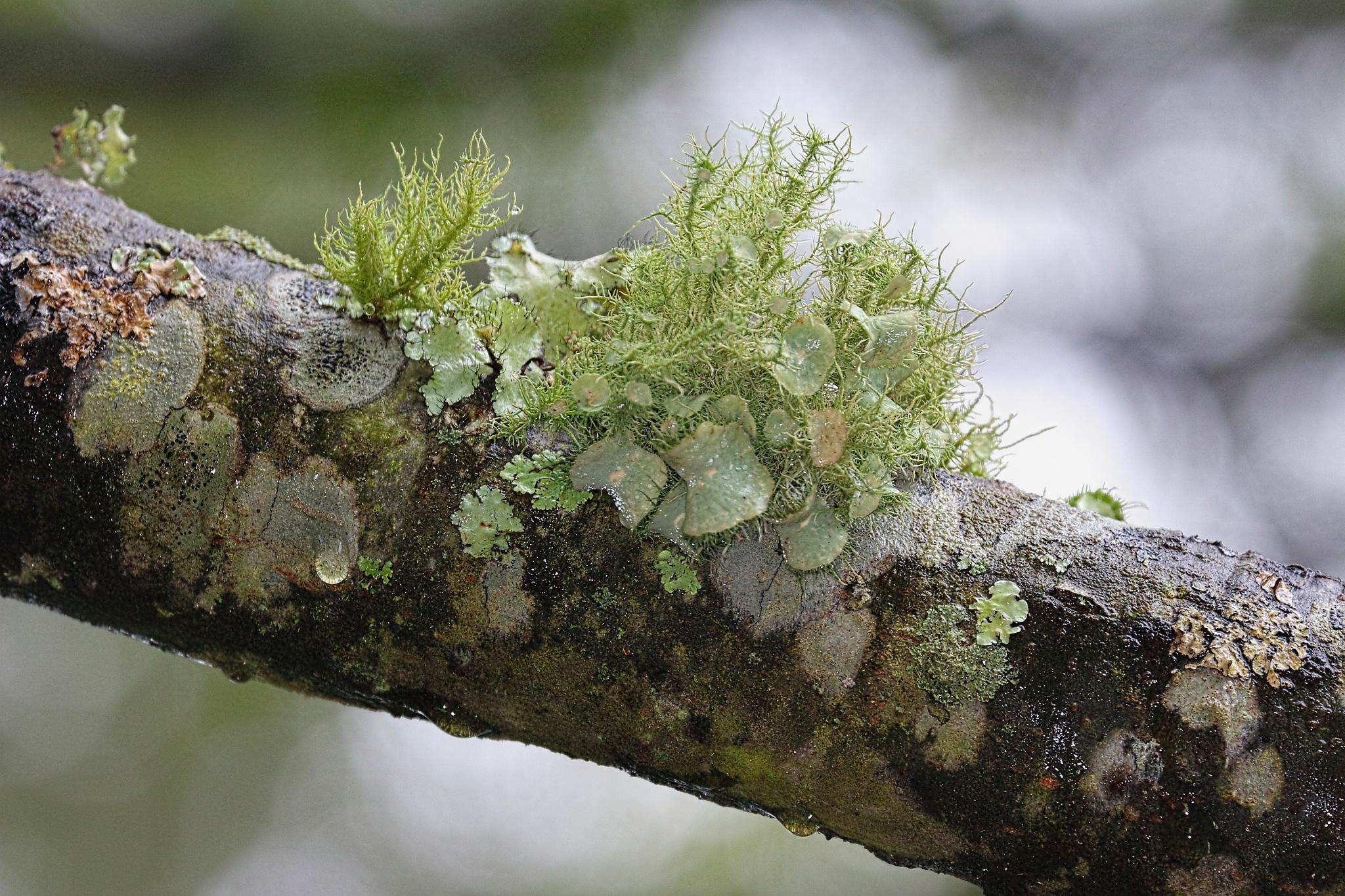 Tree Moss by Ronald Woodward
