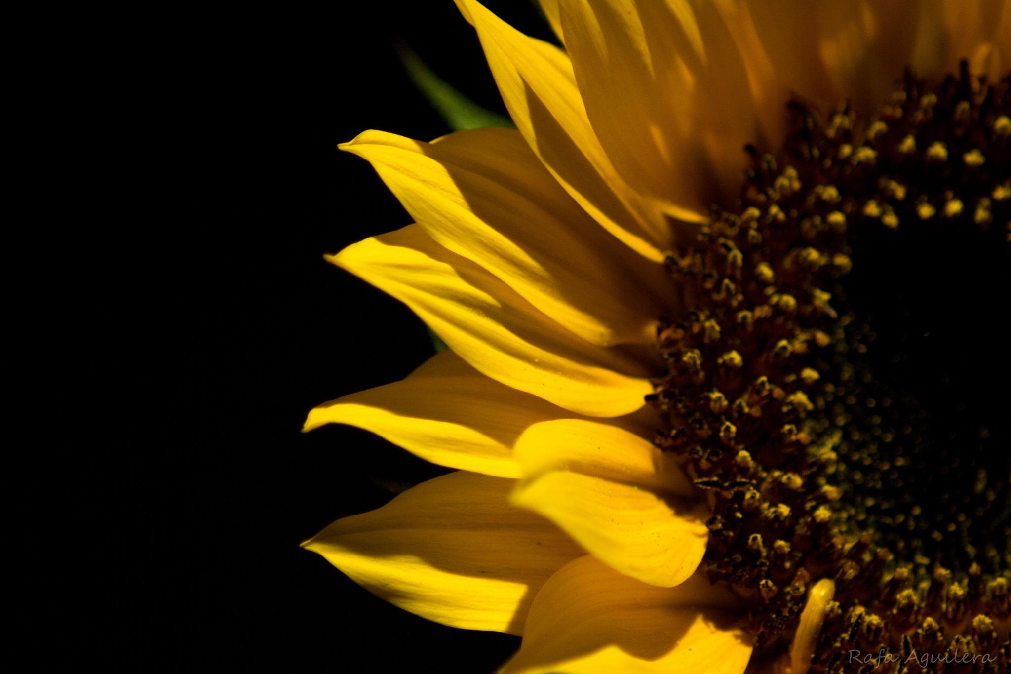 sunflower by Rafael Aguilera