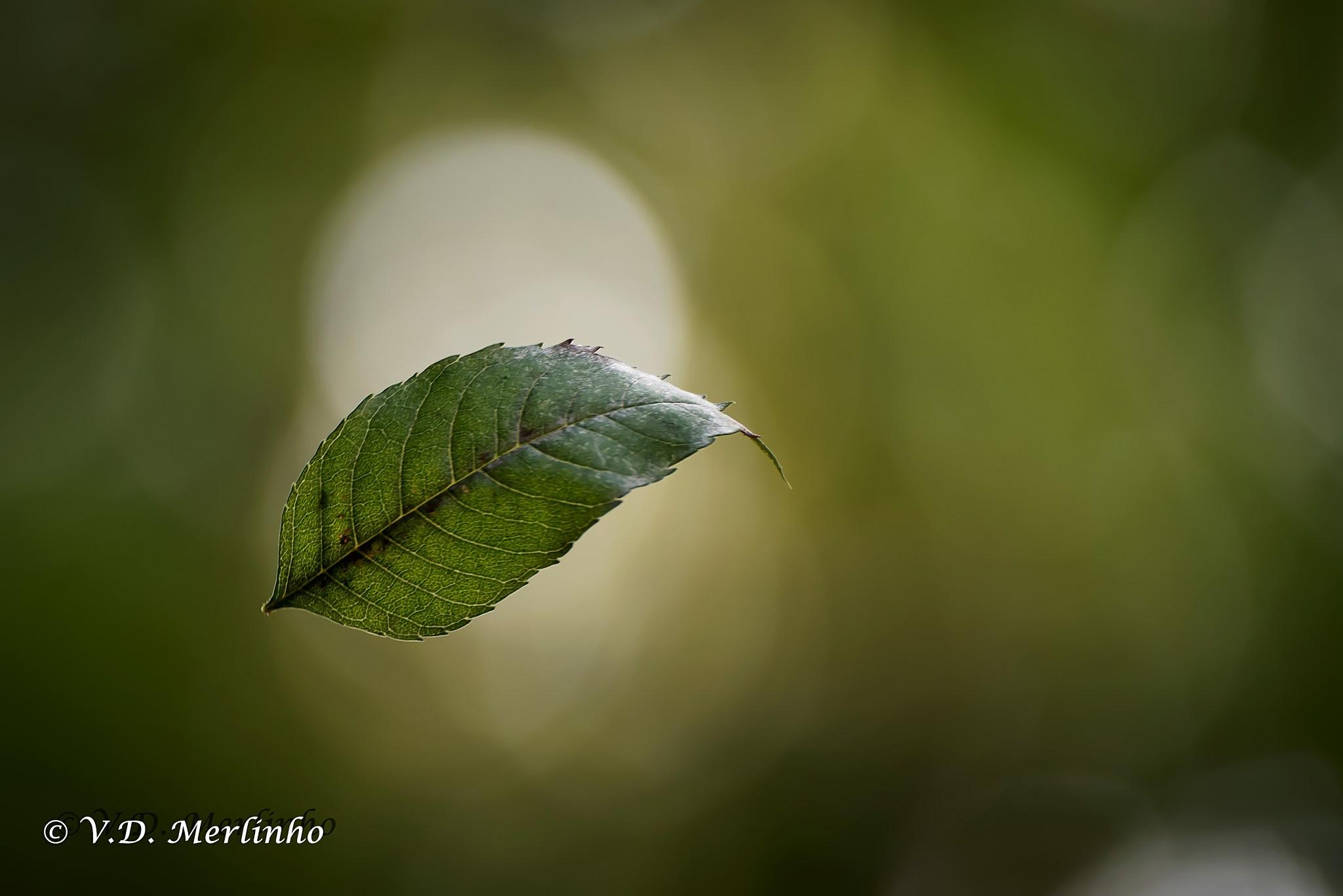 Larga la foglia stretta la via-Stay away the narrow leafy stree by merlinho