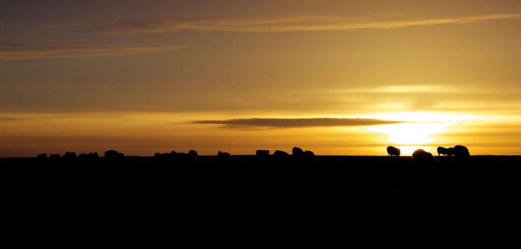 Sheep in silhouette by Steve Blundell