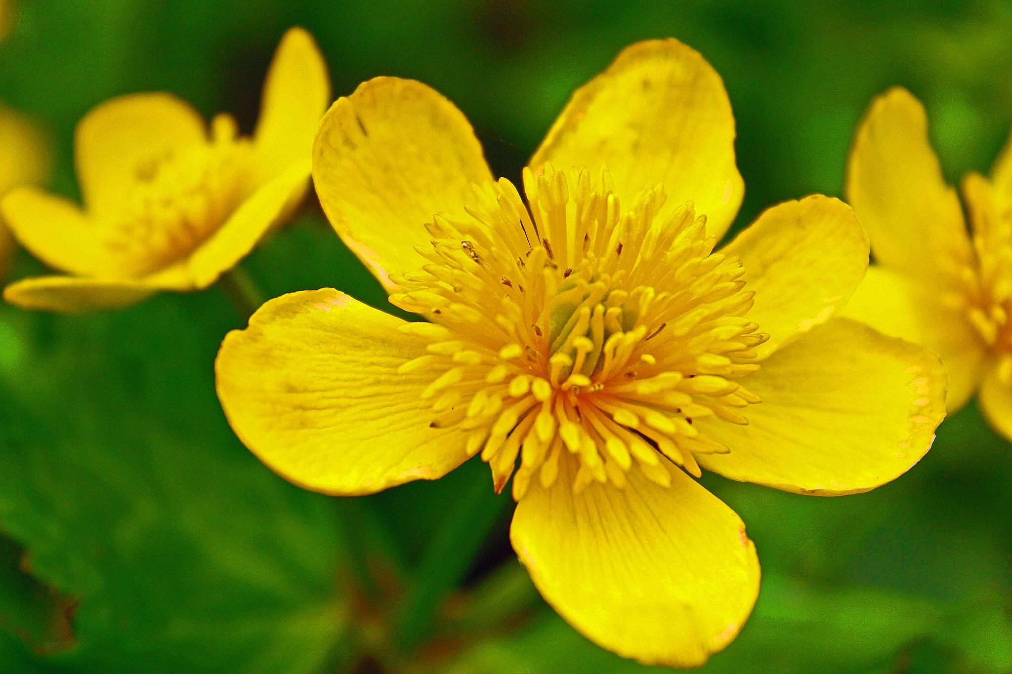 Marsh marigold or Kingcup by ananthatejas