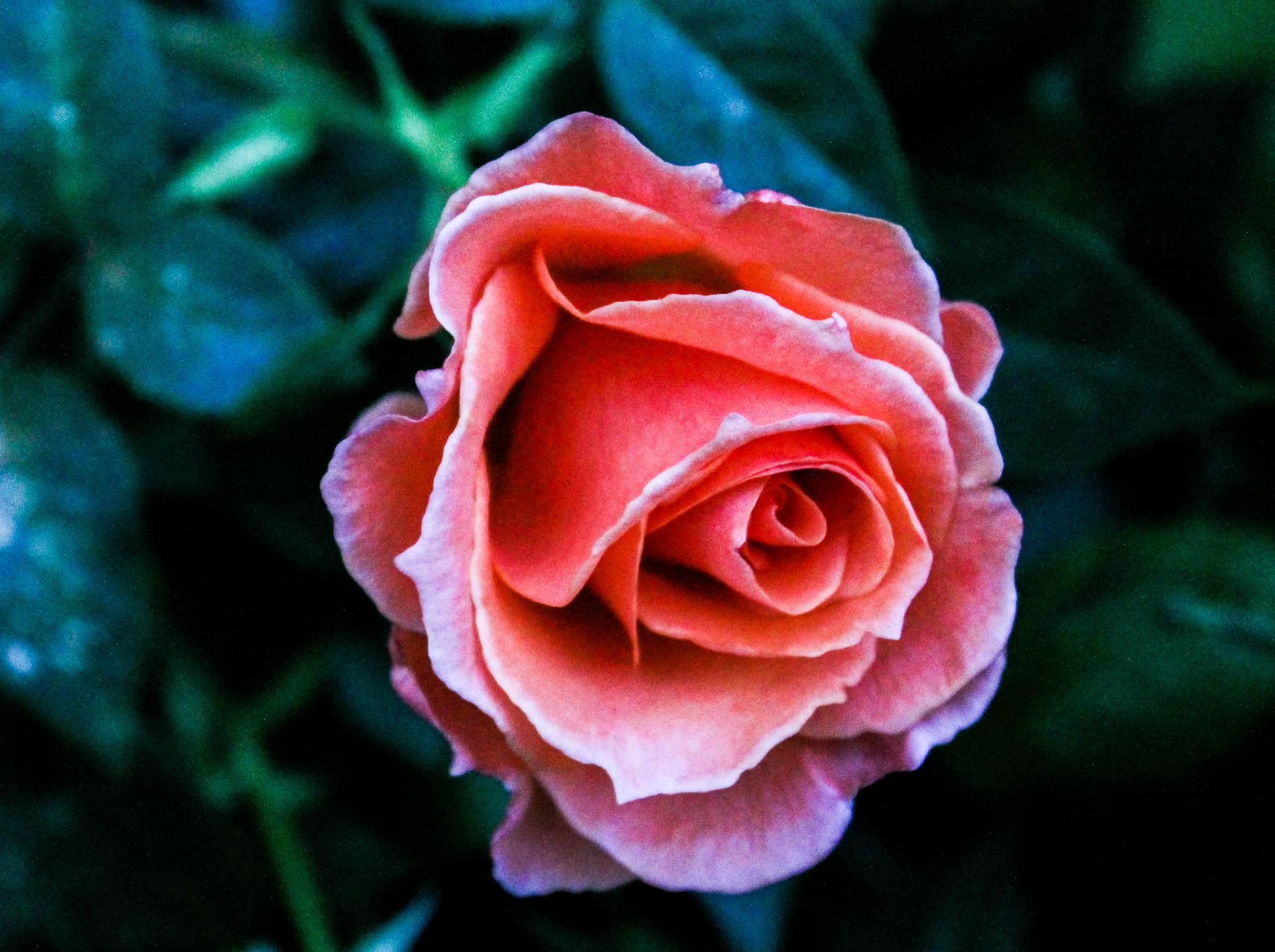 Photo in Nature #rose #pink #flower #grainy