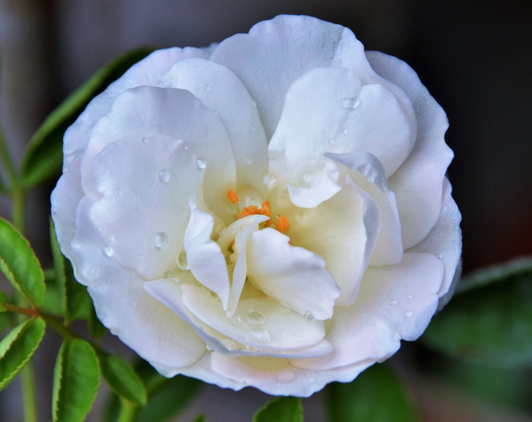 White Rose by ananthatejas