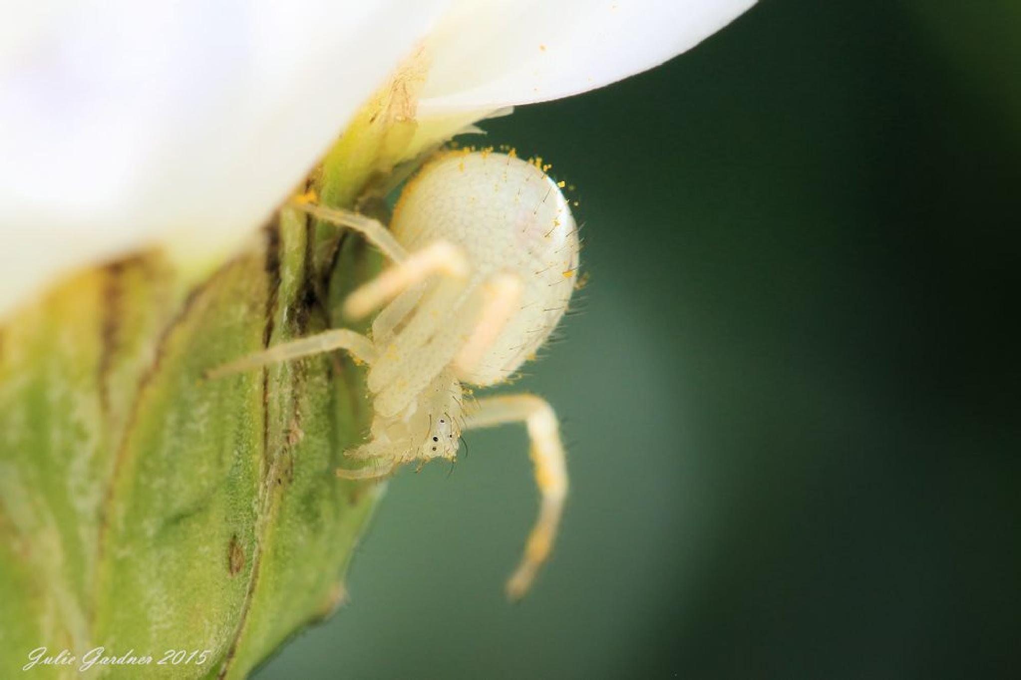 Hiding Crab Spider by Julie Gardner