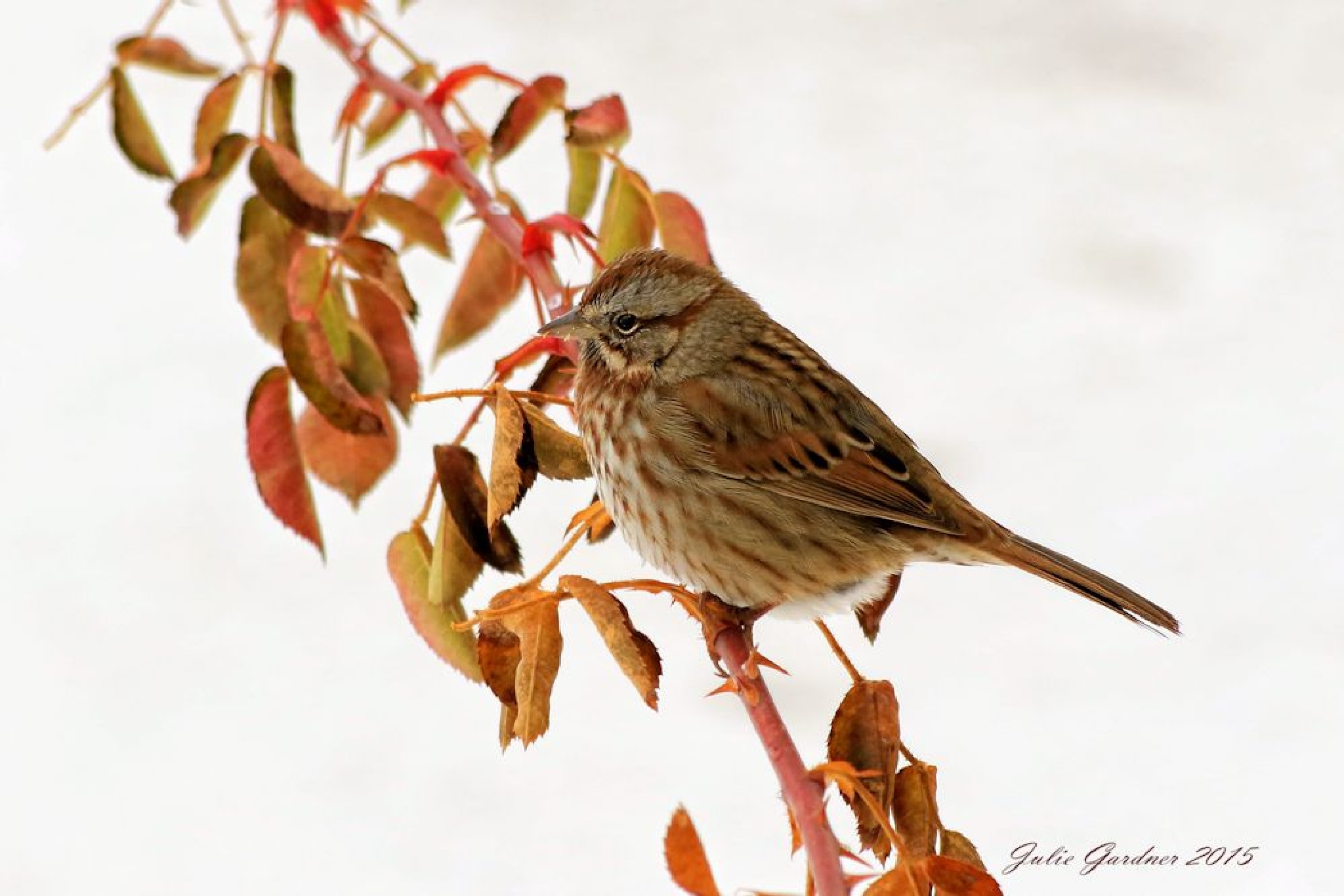 House Sparrow by Julie Gardner