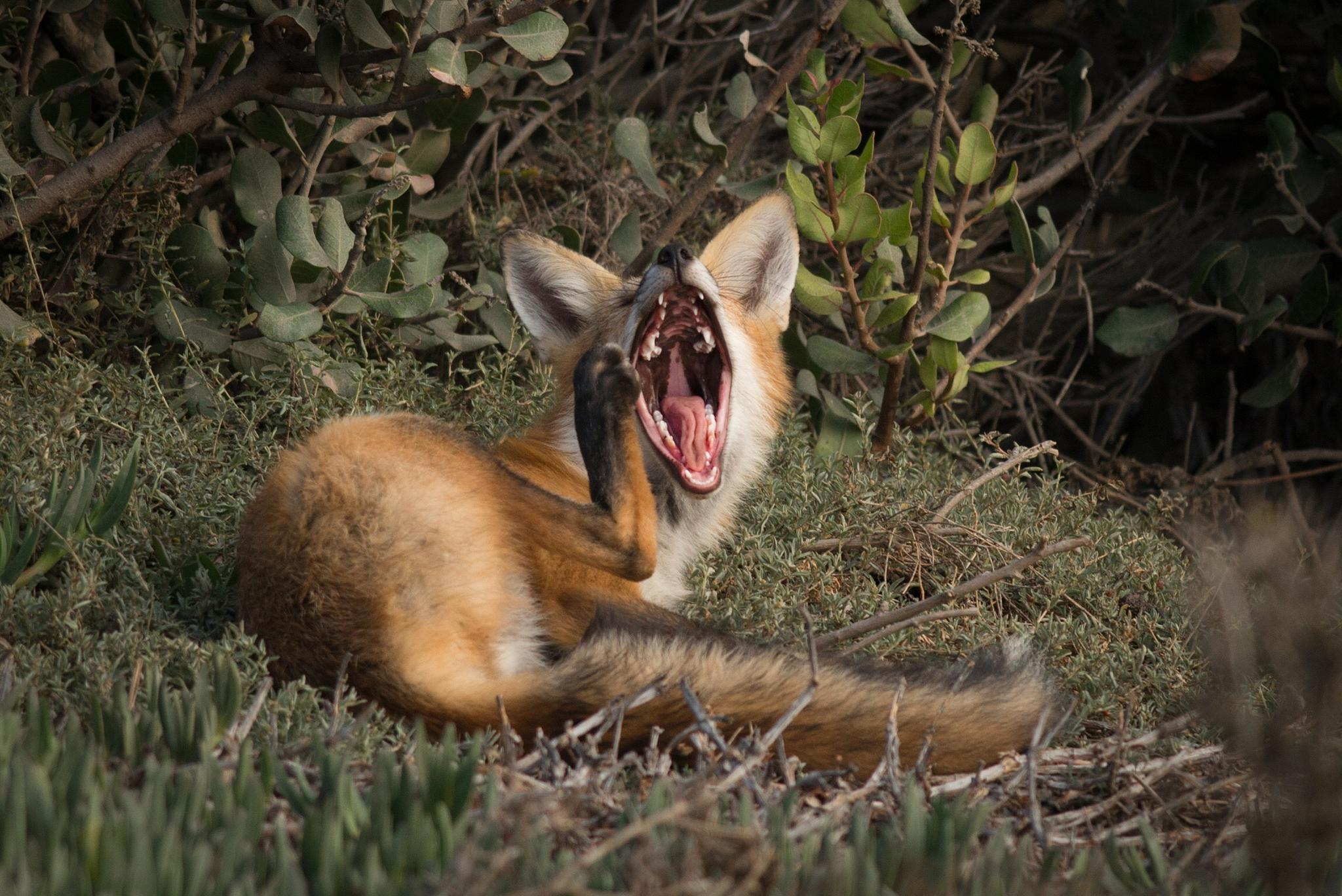 Red Fox 001 by Tango
