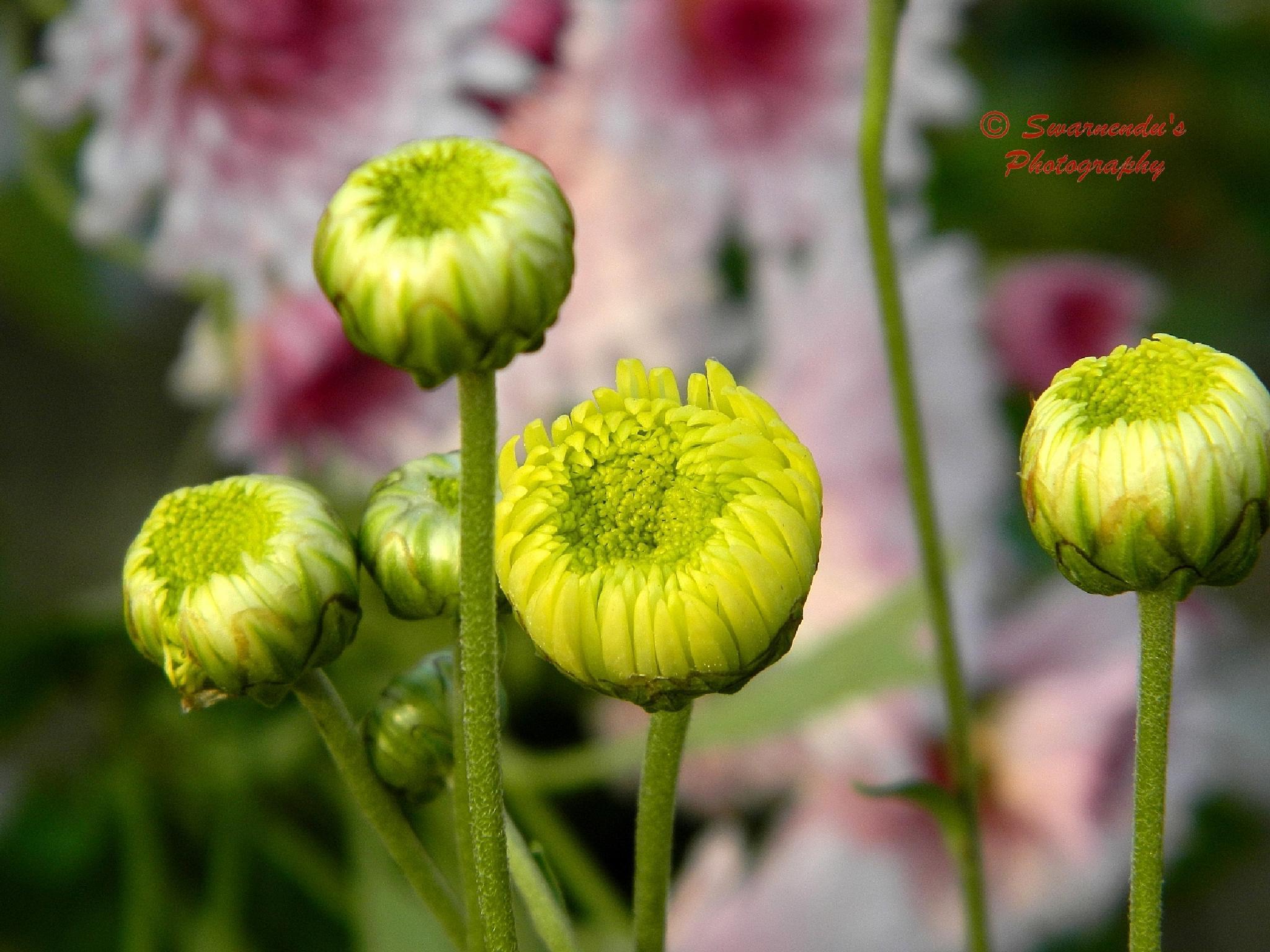 Flowers  by Swarnendu Ghoshdastidar