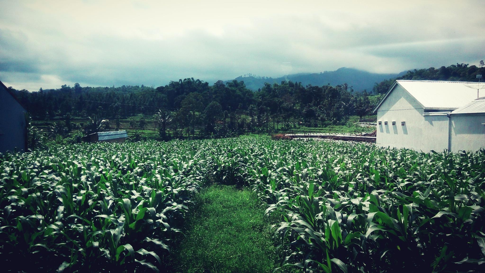 Perkebunan jagung by May Ary Coster