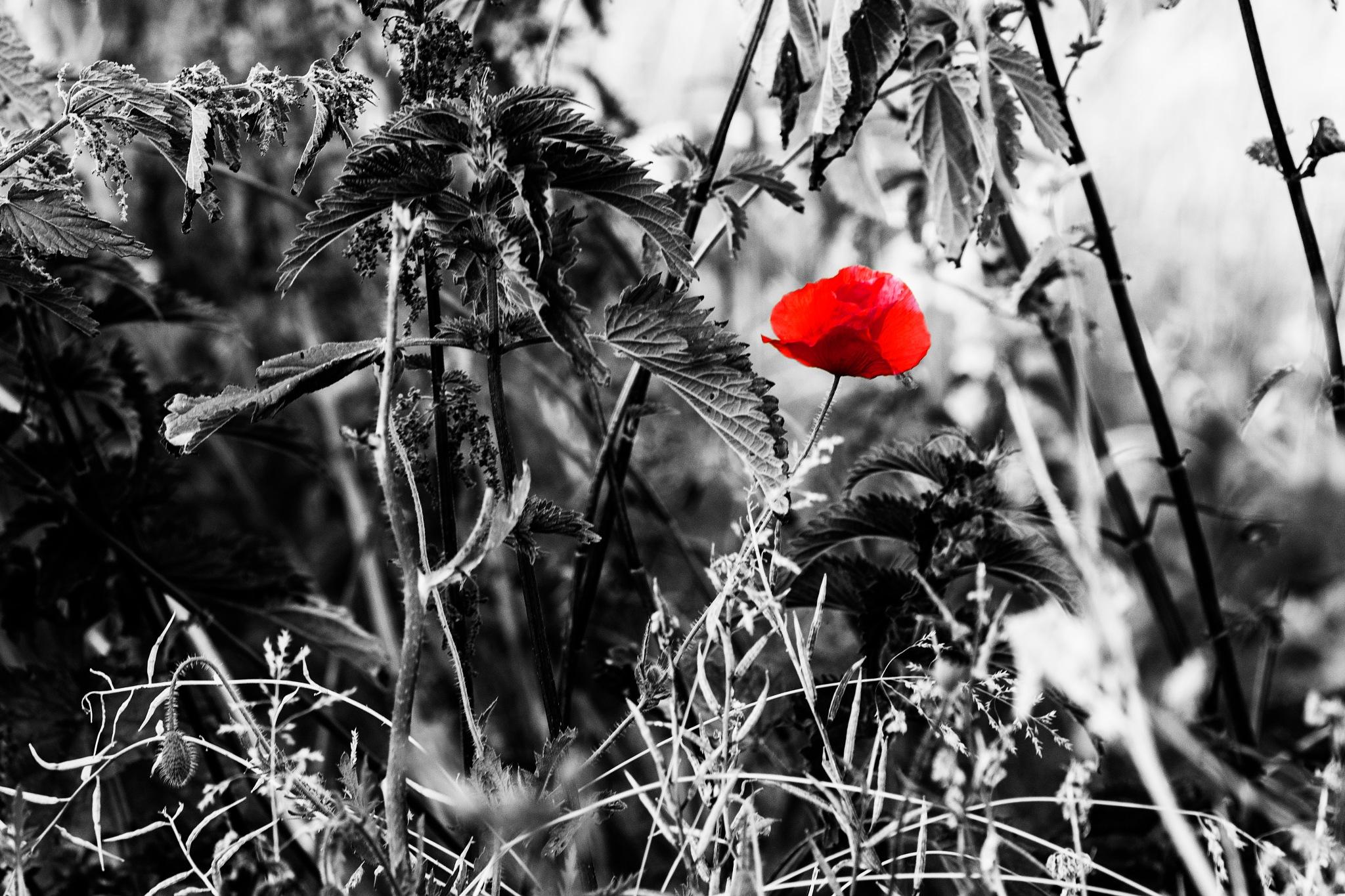 Poppy in our garden by Tom P