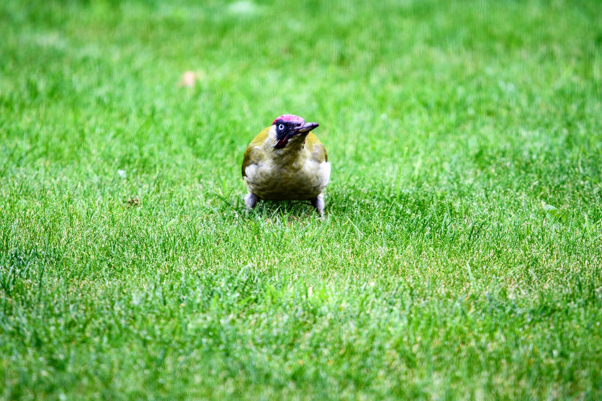 Woodpecker in the garden 2 by Tom P
