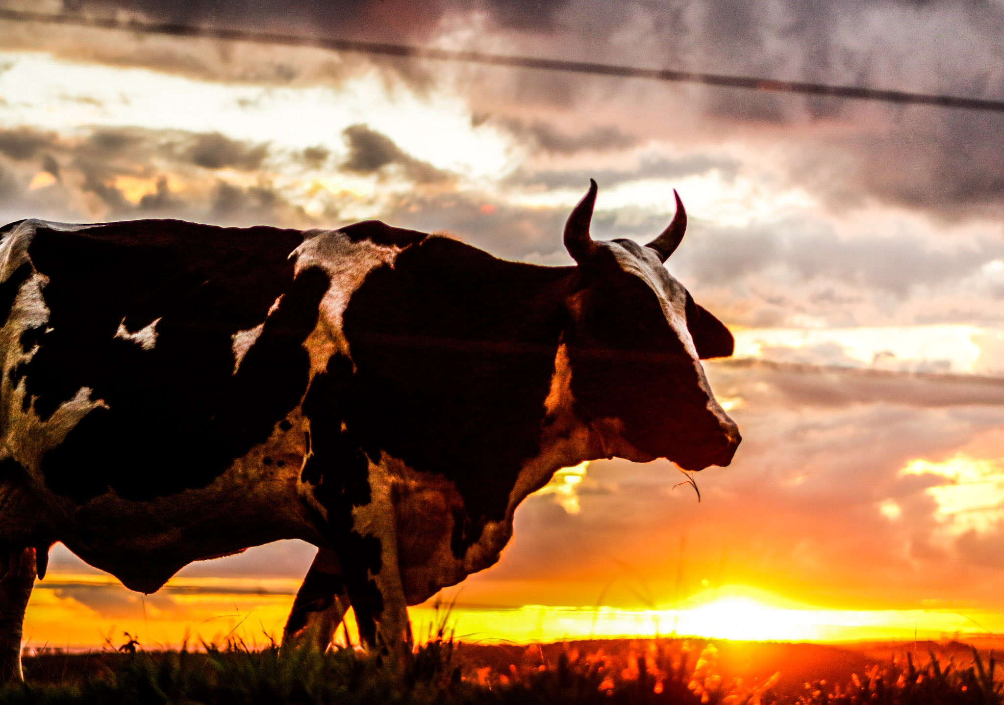 Photo in Nature #cow #grass #sun #sunset #countryside #rural #sky #clouds