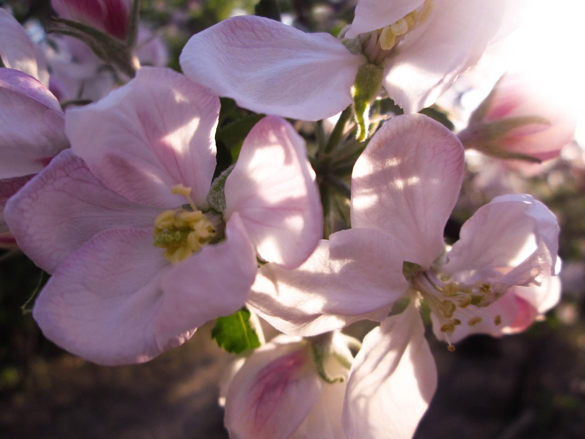Apple tree flowers 1 by Bucur Stefan