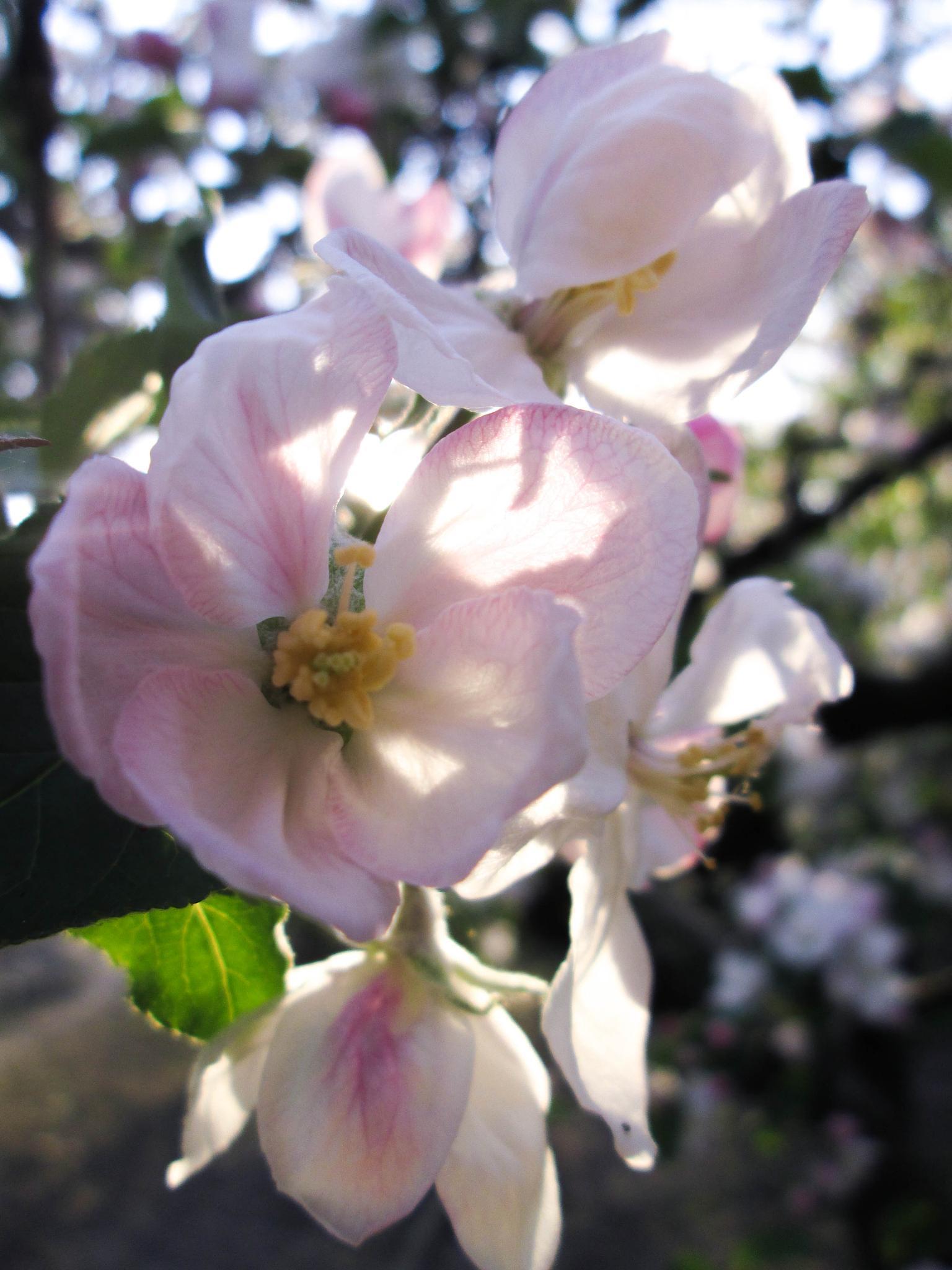 apple tree flowers 3 by Bucur Stefan