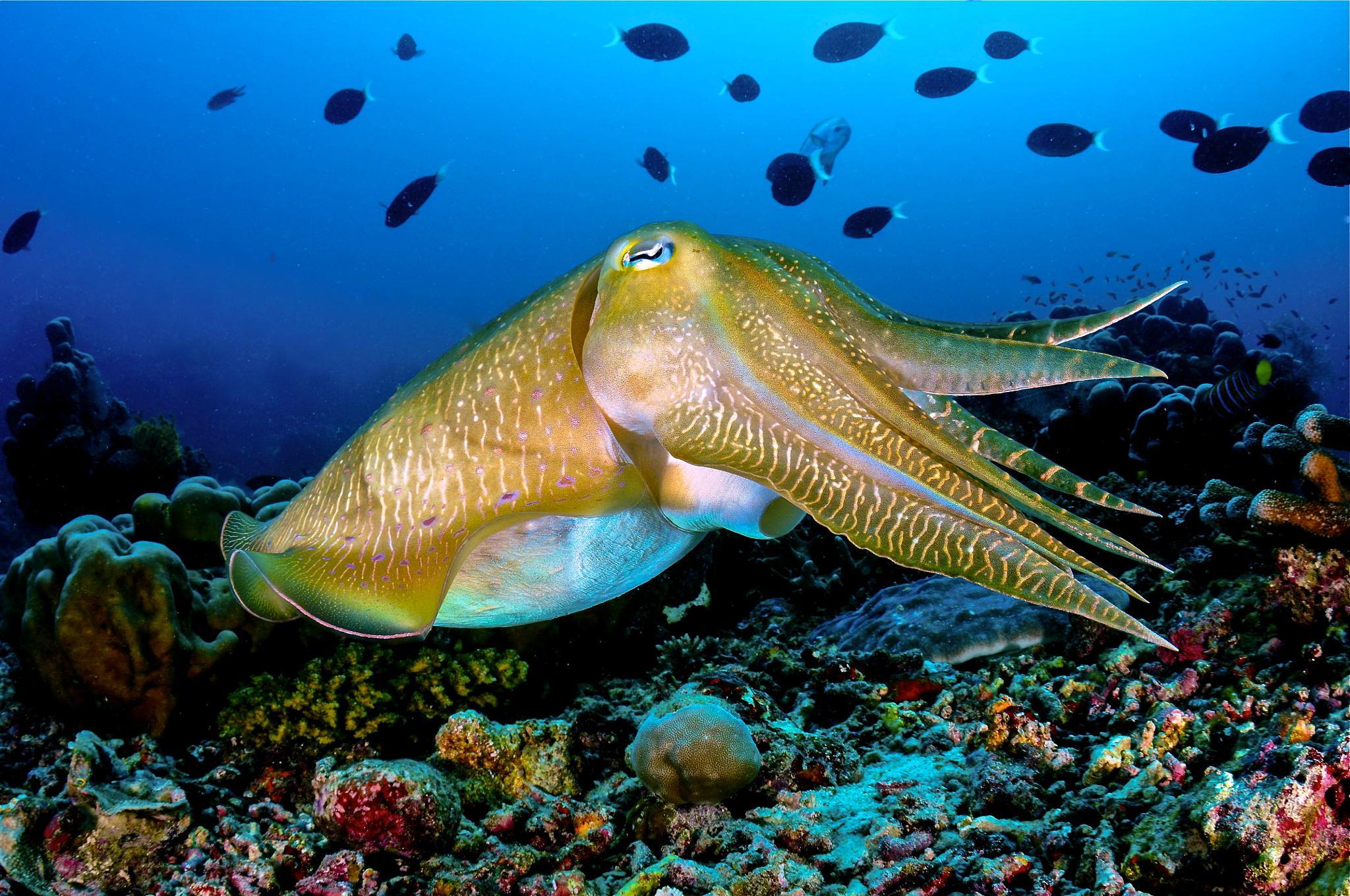 Cuttle fish.  Sipadan Island, Sabah, Malaysia by fjlian