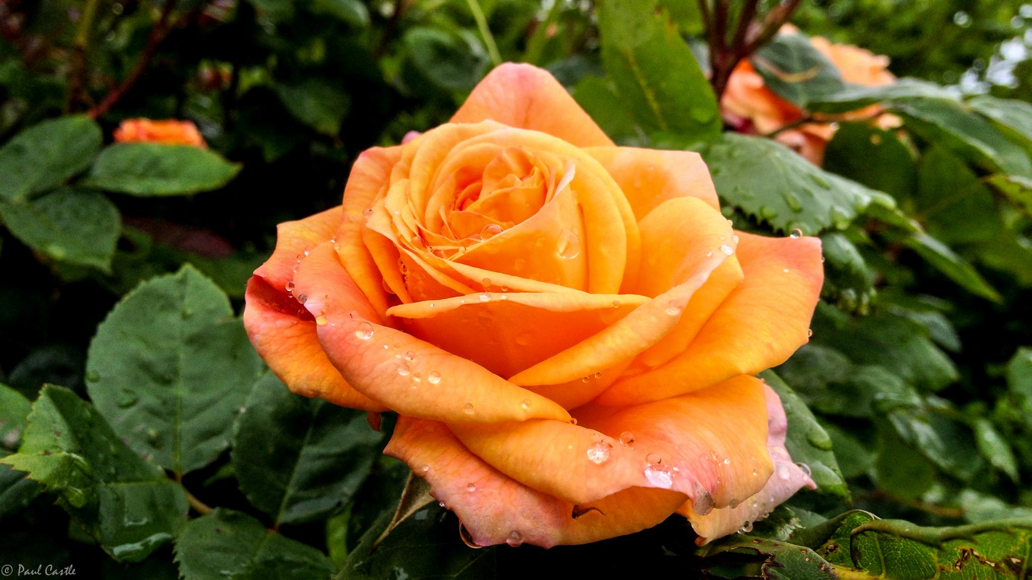 Raindrops on Roses by Paul Castle