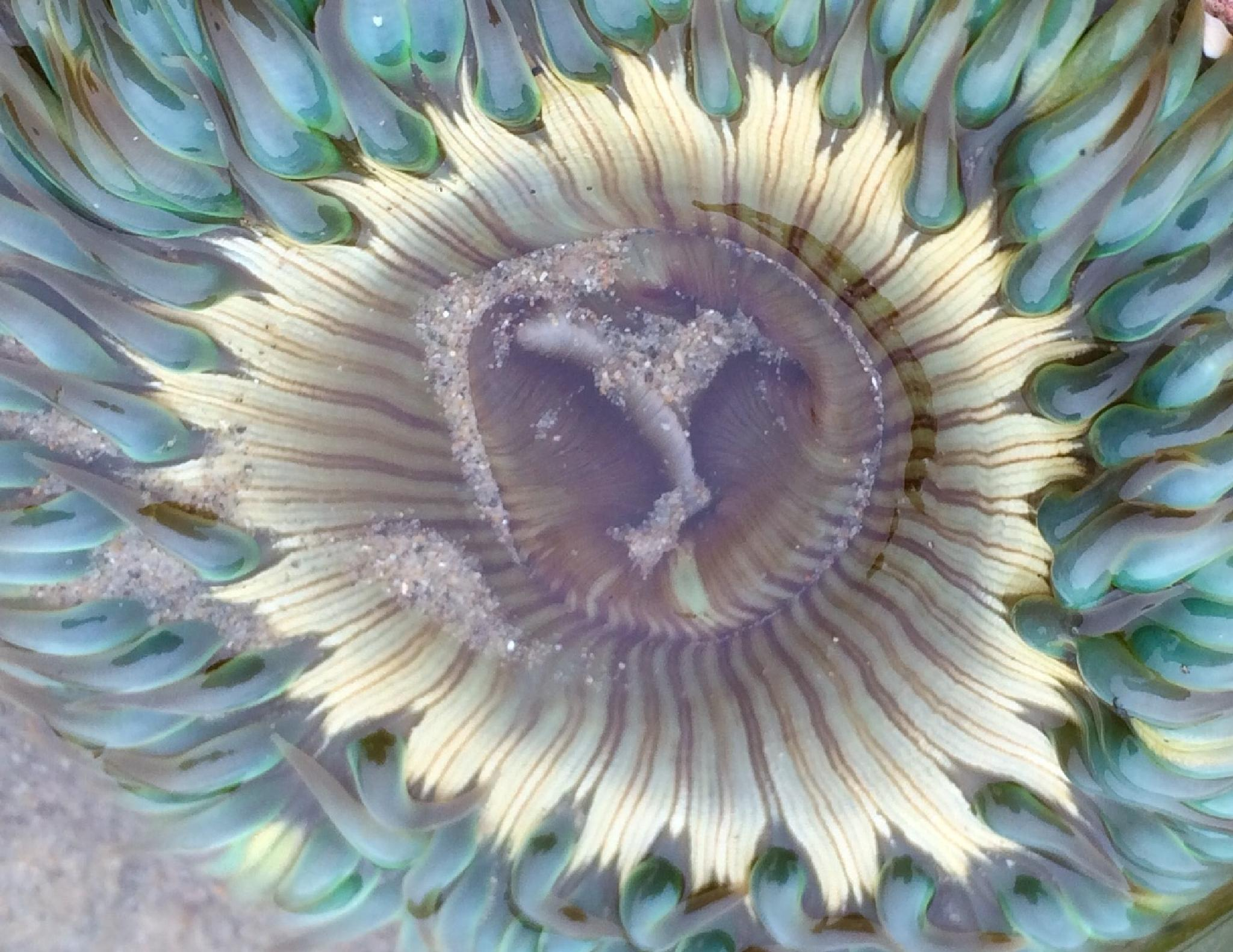 Anemone by Amy's pics