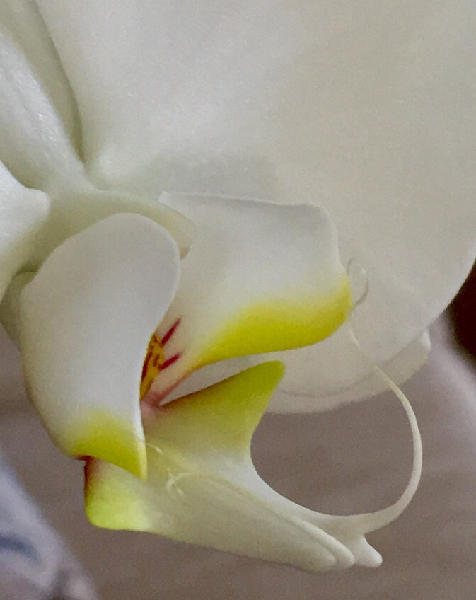 Orchid by Amy's pics