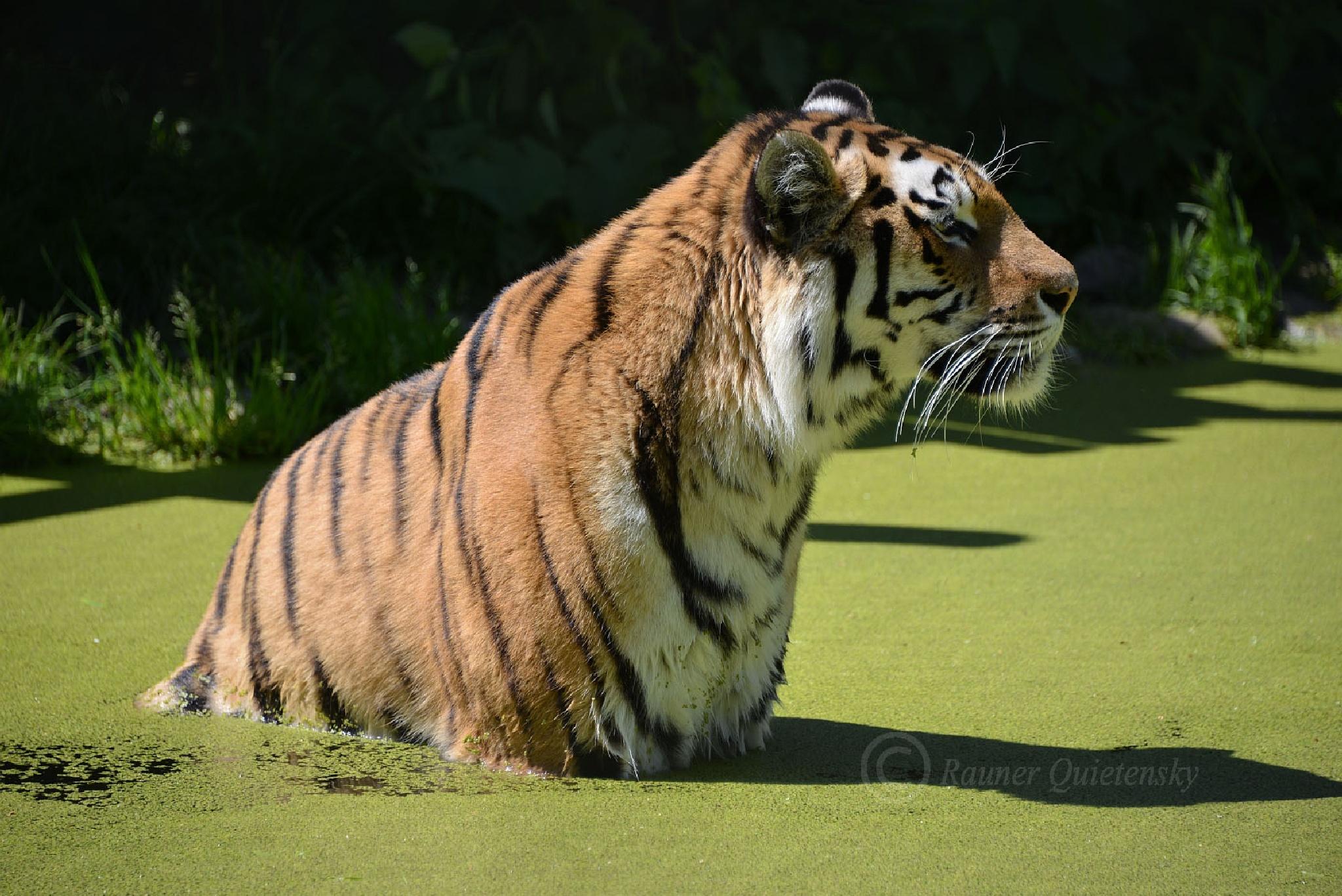 tiger bath by sixtieman