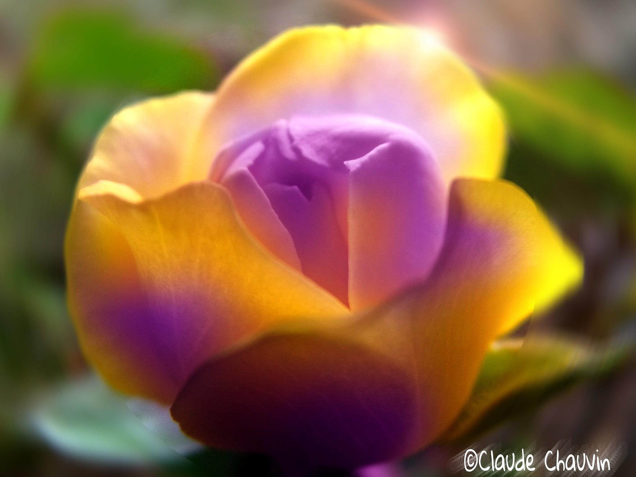 Sweetie Rose  by claudechauvin67