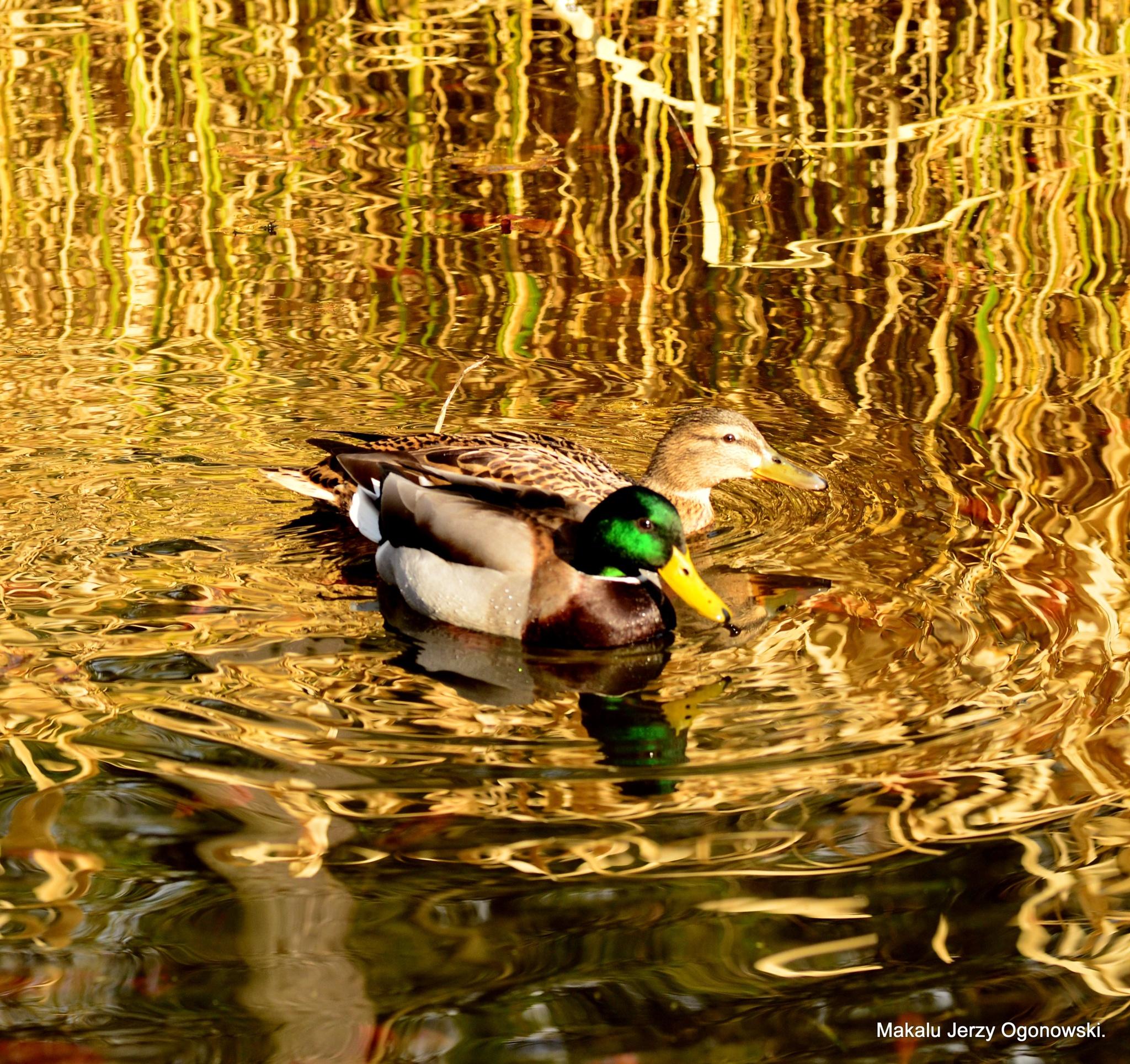 Mallard duck .(Male and female) by Makalu Jerzy Ogonowski