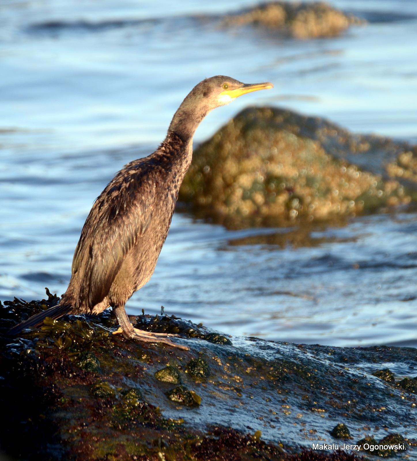 Cormorant. Phalacrocorax carbo by Makalu Jerzy Ogonowski