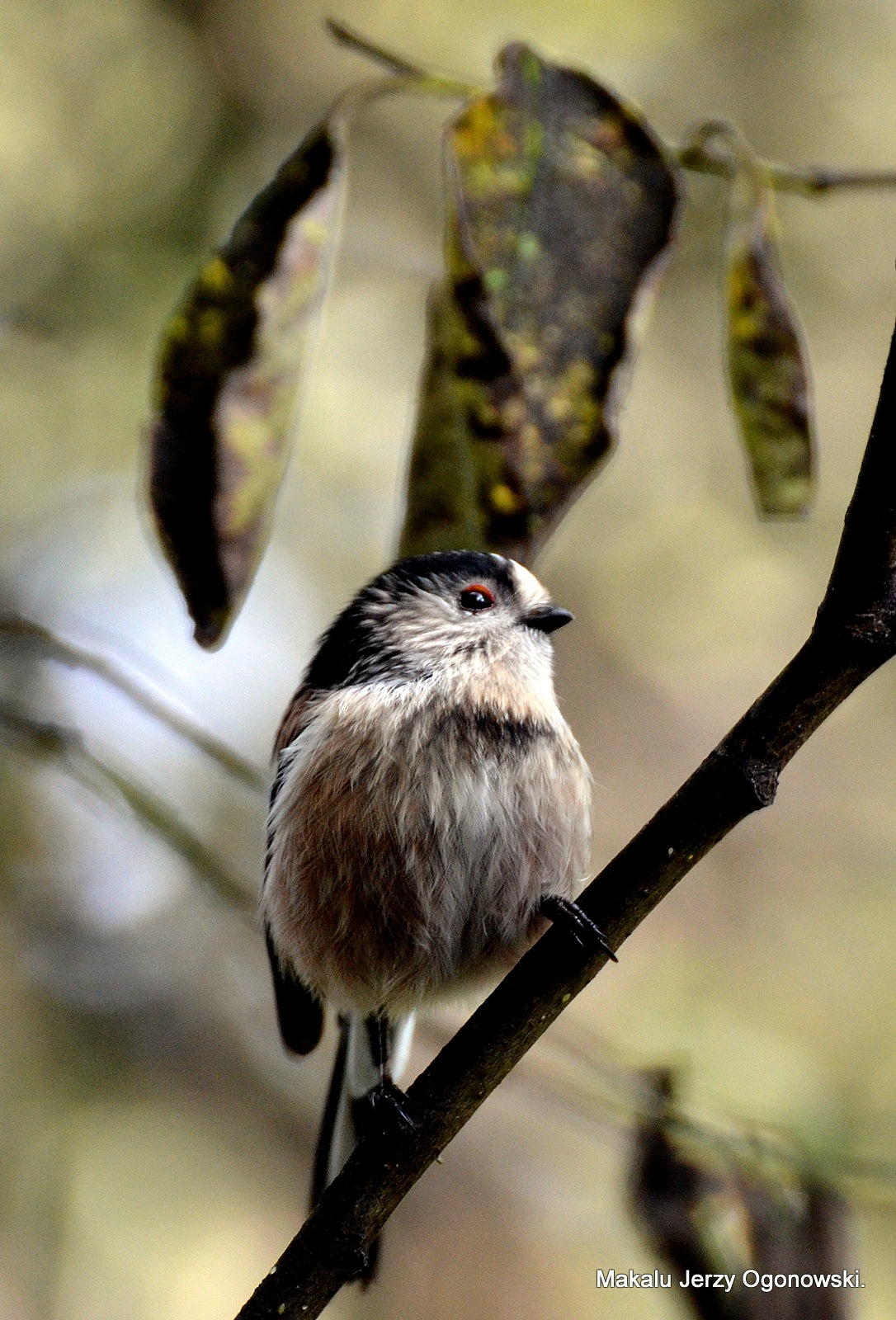 Long-tailed Tit Aegithalos caudatus  by Makalu Jerzy Ogonowski