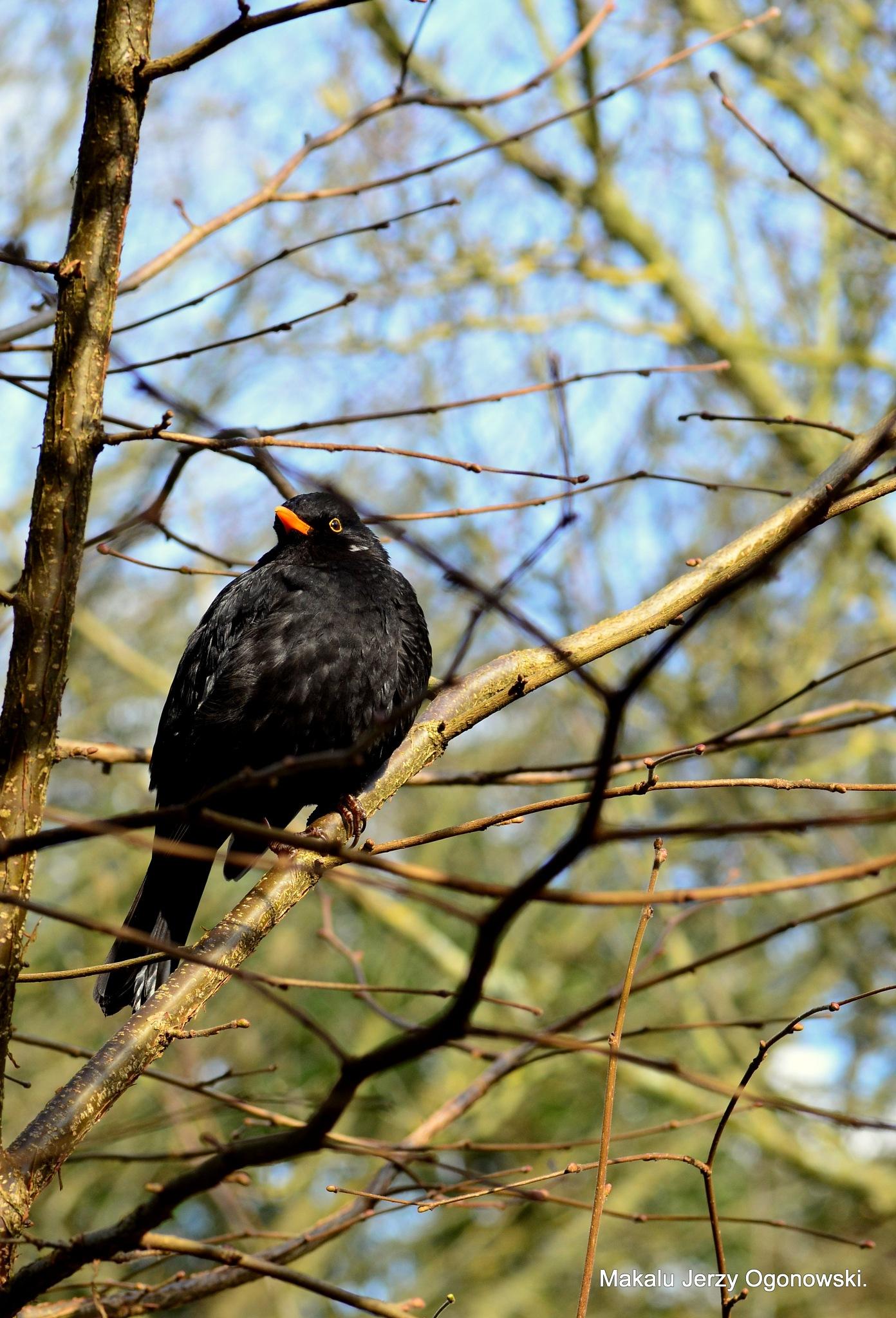 Blackbird Male by Makalu Jerzy Ogonowski