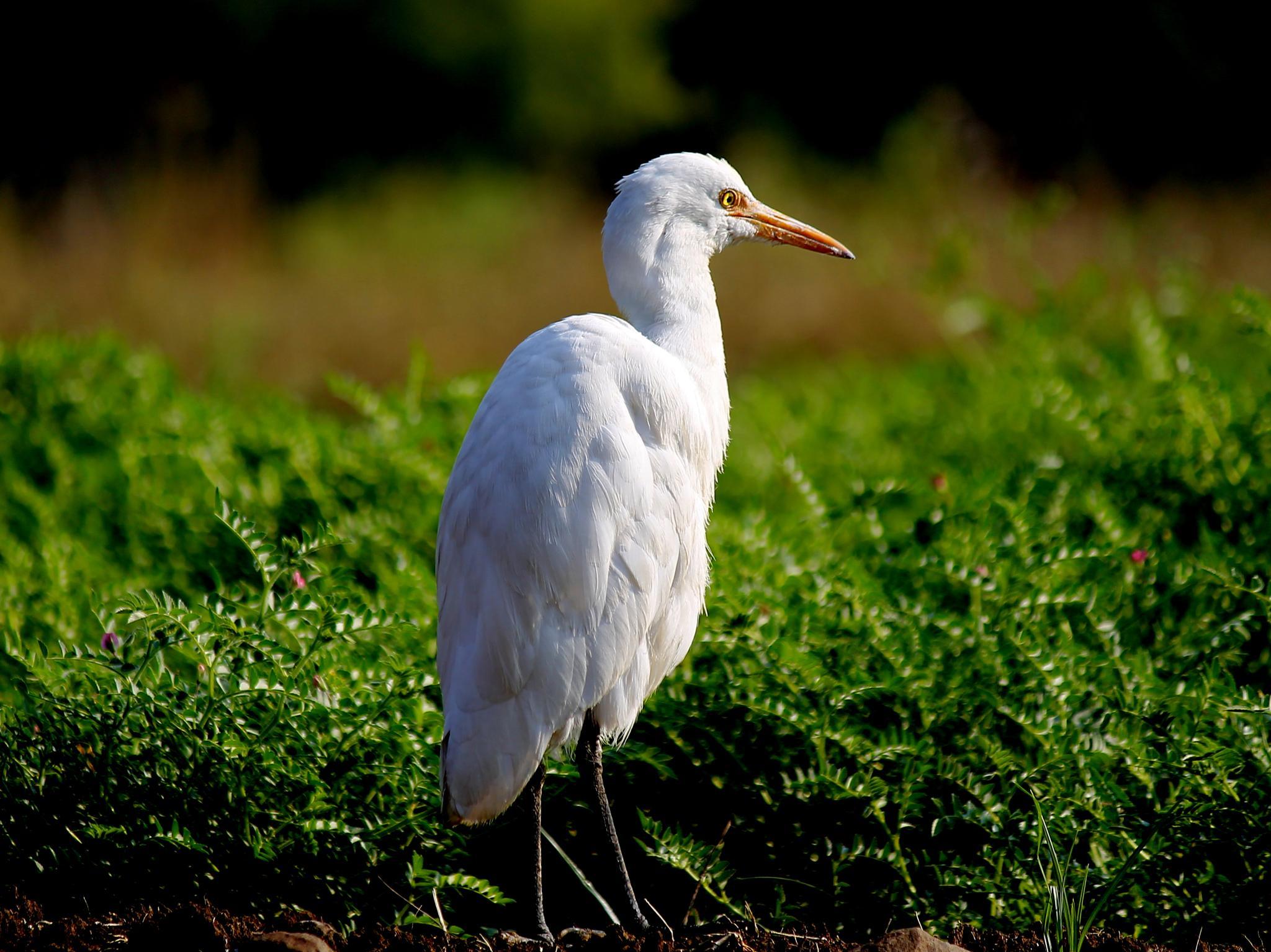 Cattle egret... by RahulkarRD