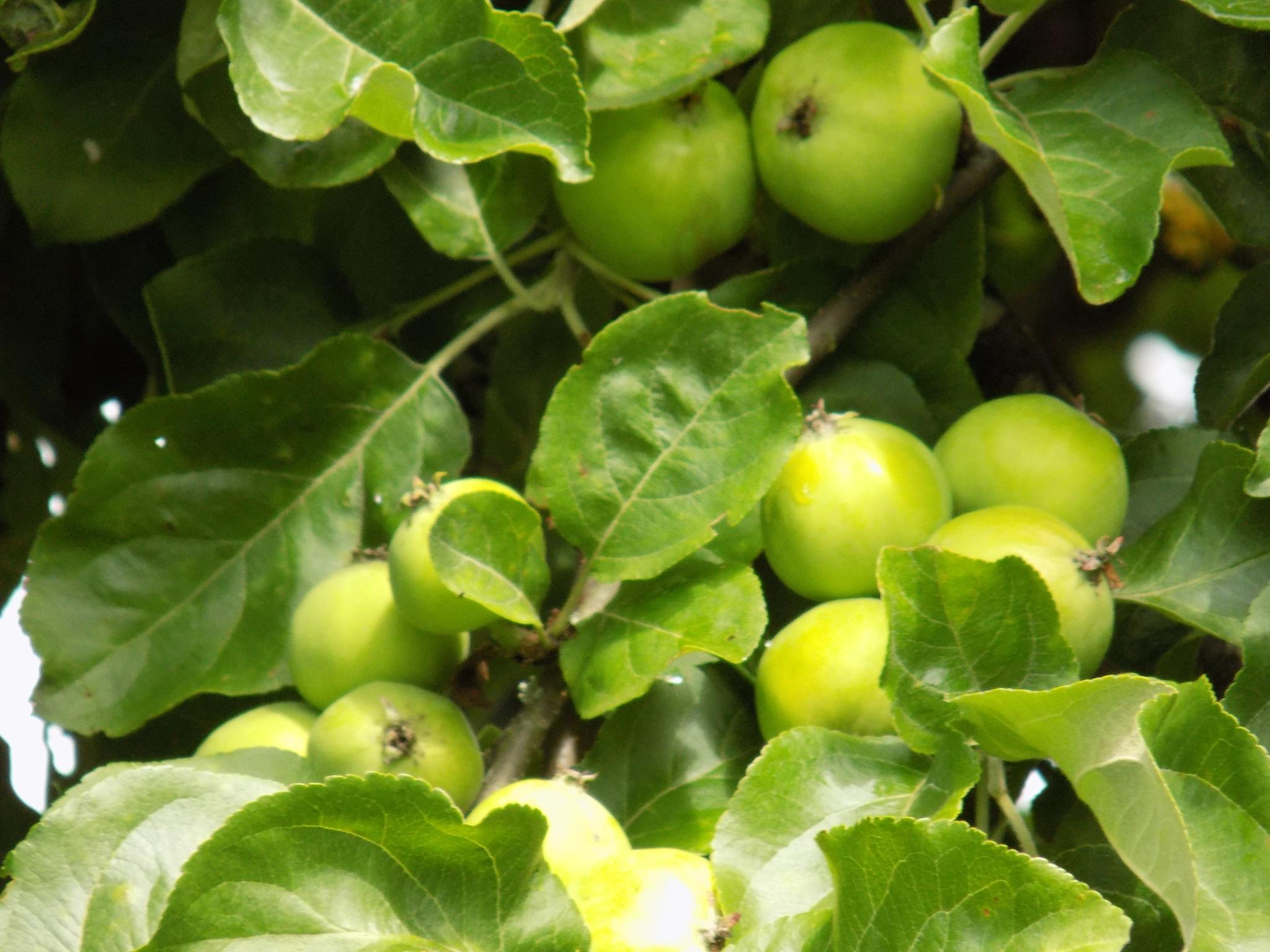 Green apples by uzkuraitiene62
