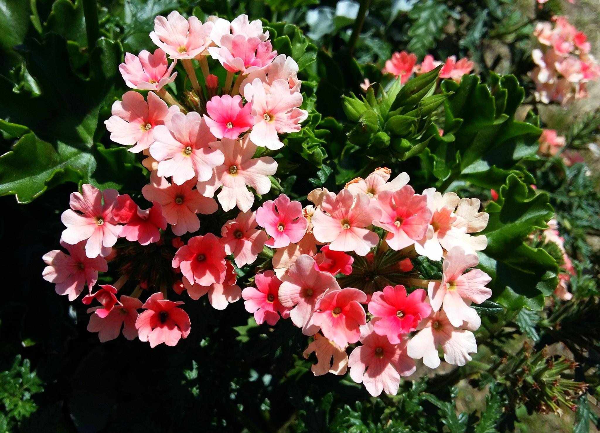 Small pink flowers. by uzkuraitiene62