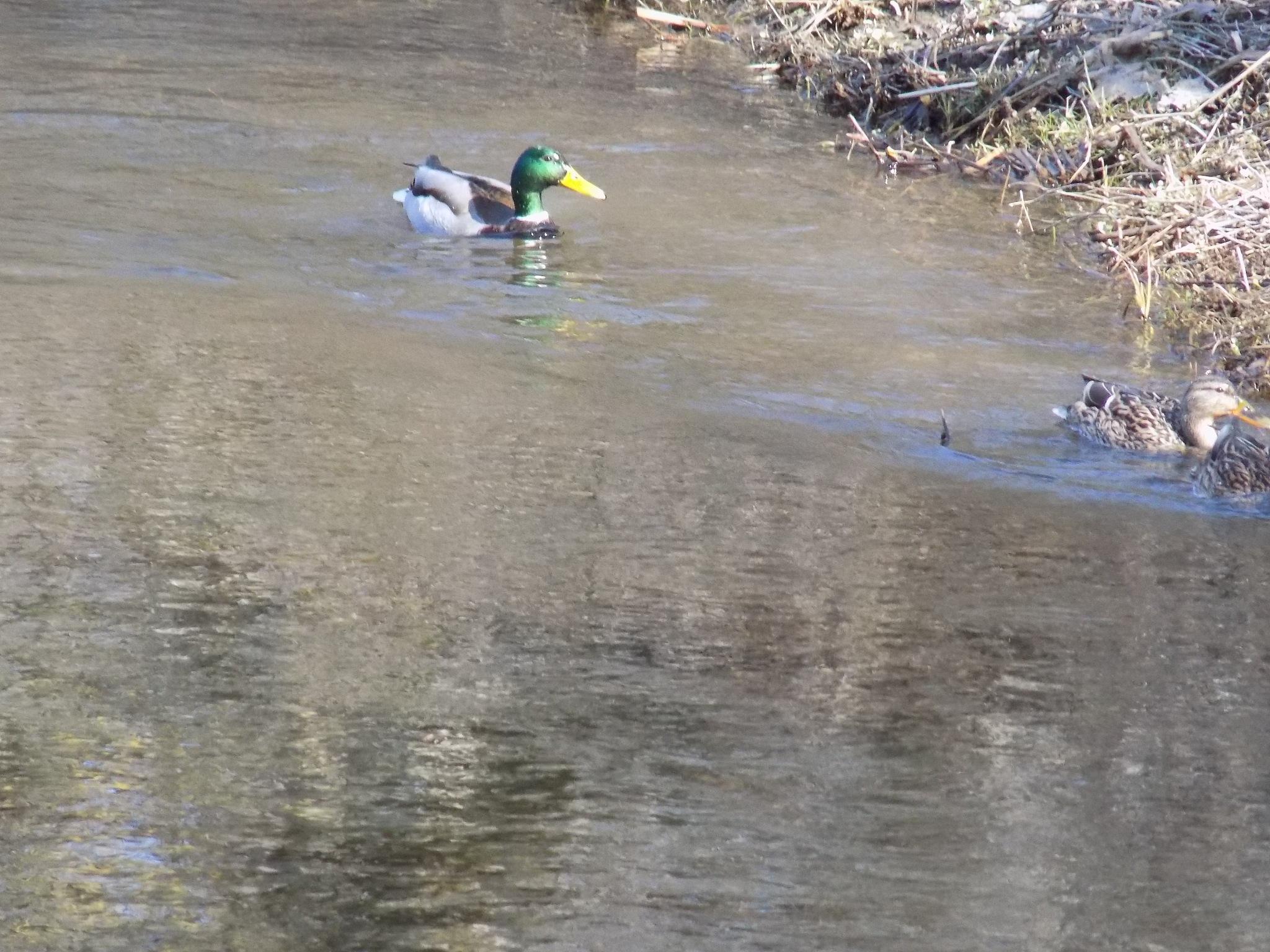 Duck by uzkuraitiene62