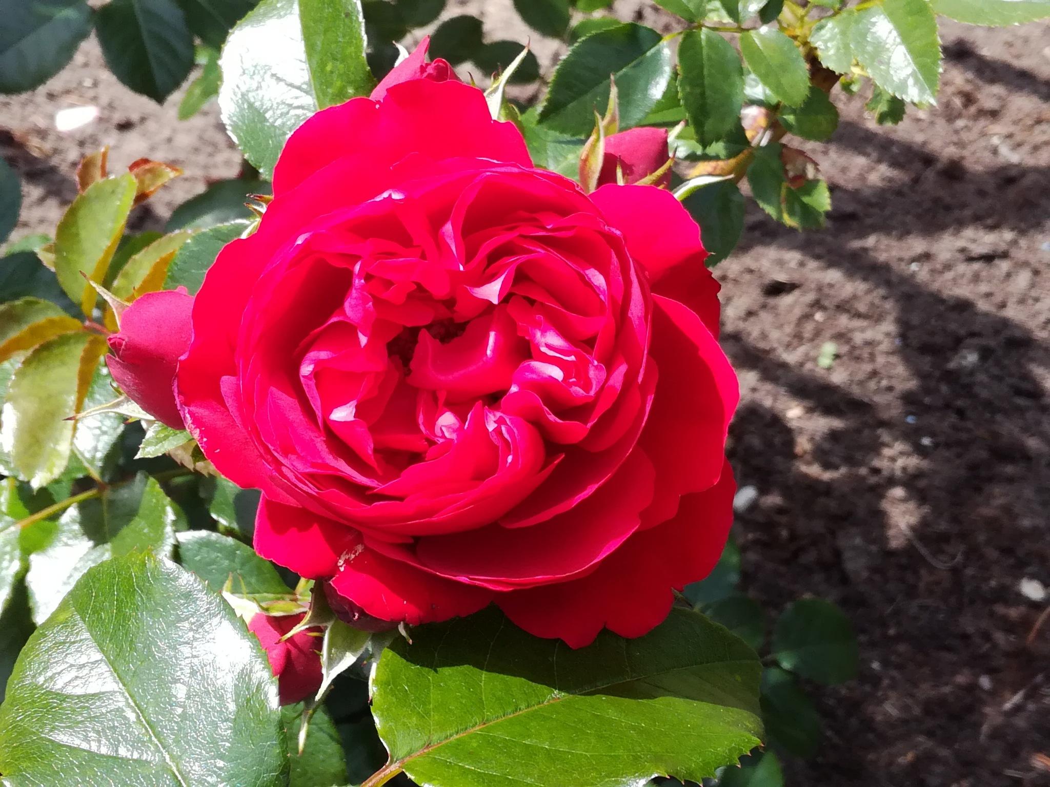 Red rose by uzkuraitiene62