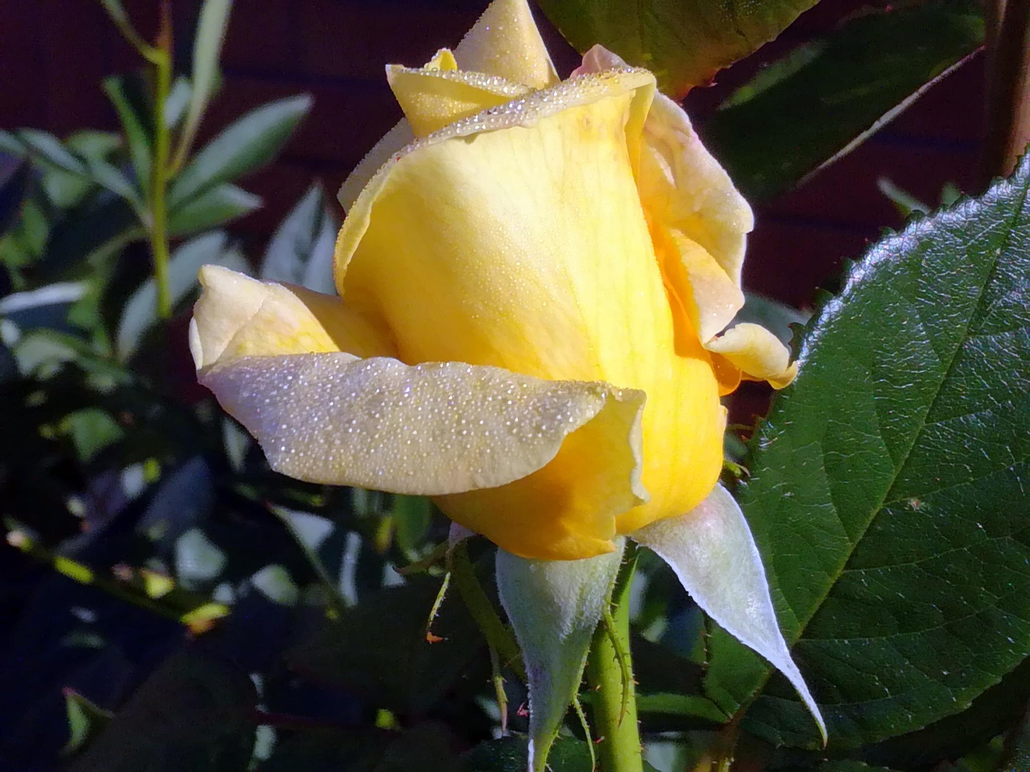 Roses bud by uzkuraitiene62