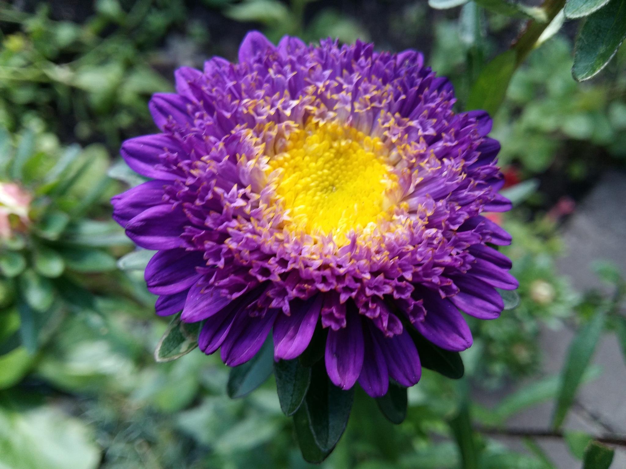 Purple flower by uzkuraitiene62