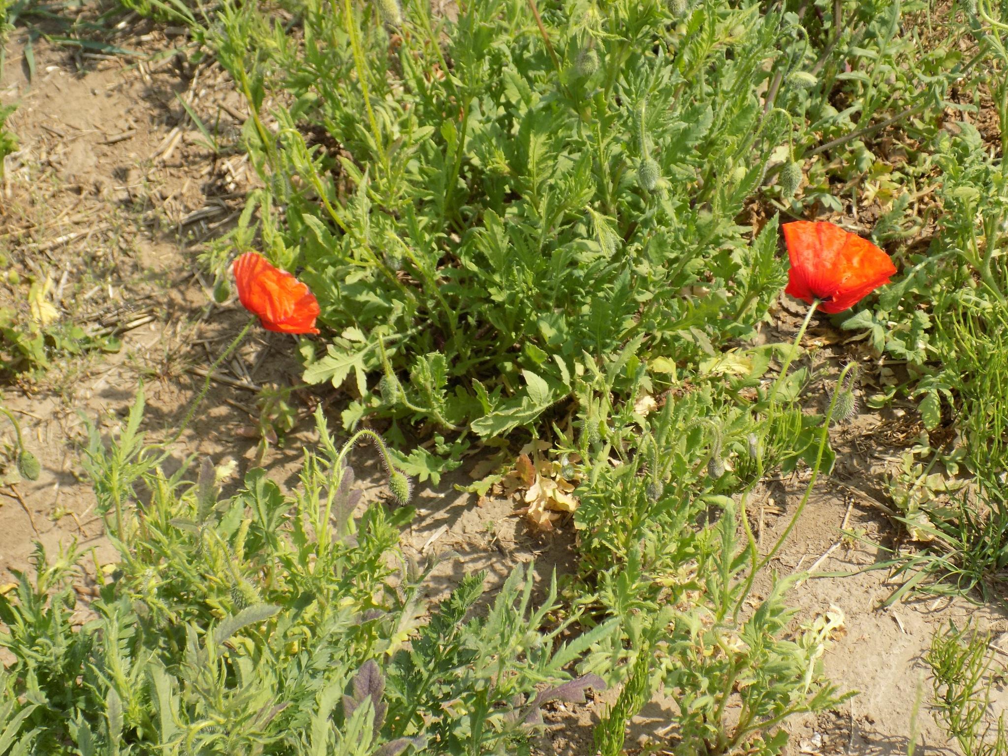 Field poppies. by uzkuraitiene62