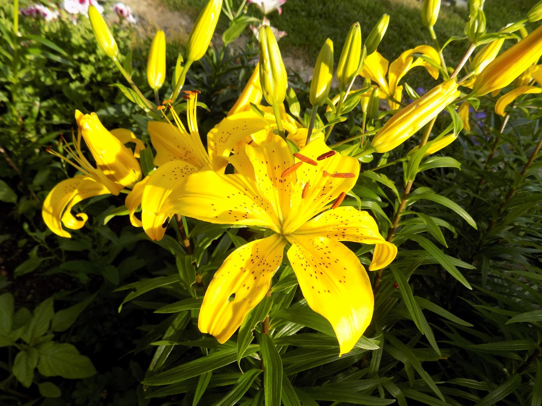 Lilies by uzkuraitiene62