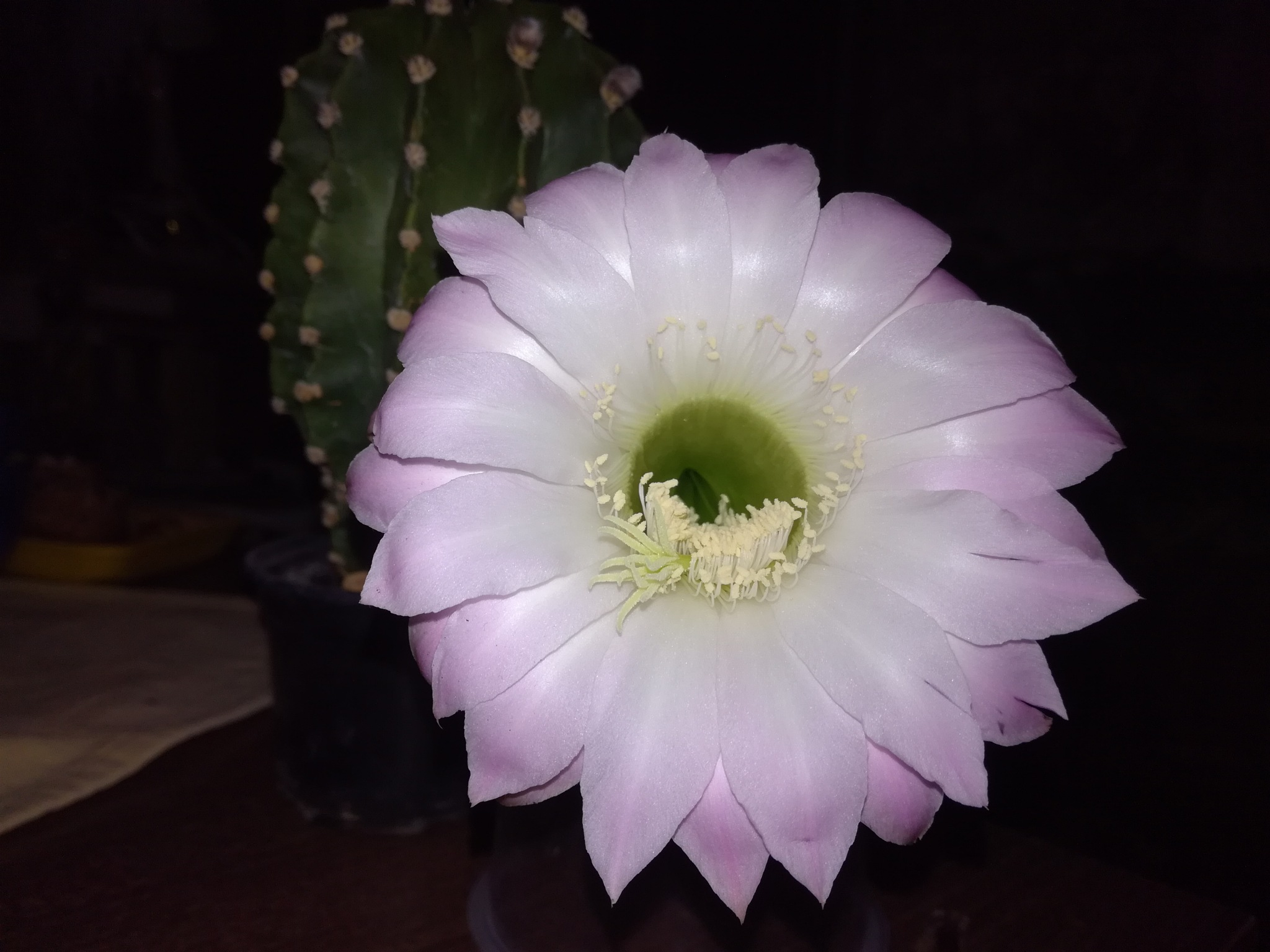 My cactus by uzkuraitiene62