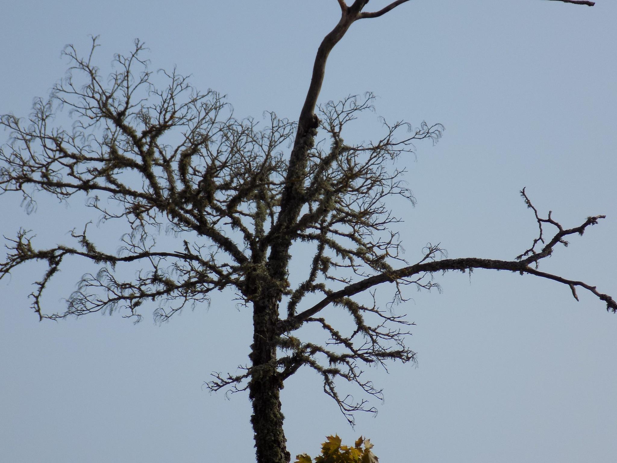 Withered tree by uzkuraitiene62