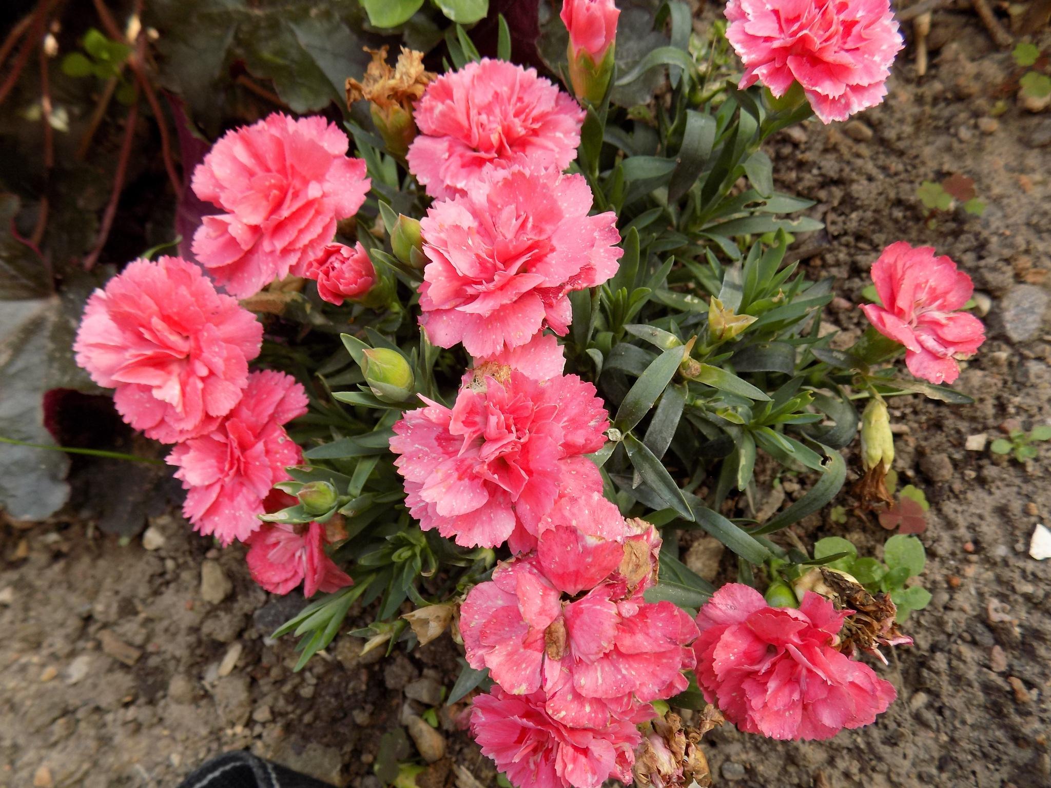 Pink flowers by uzkuraitiene62