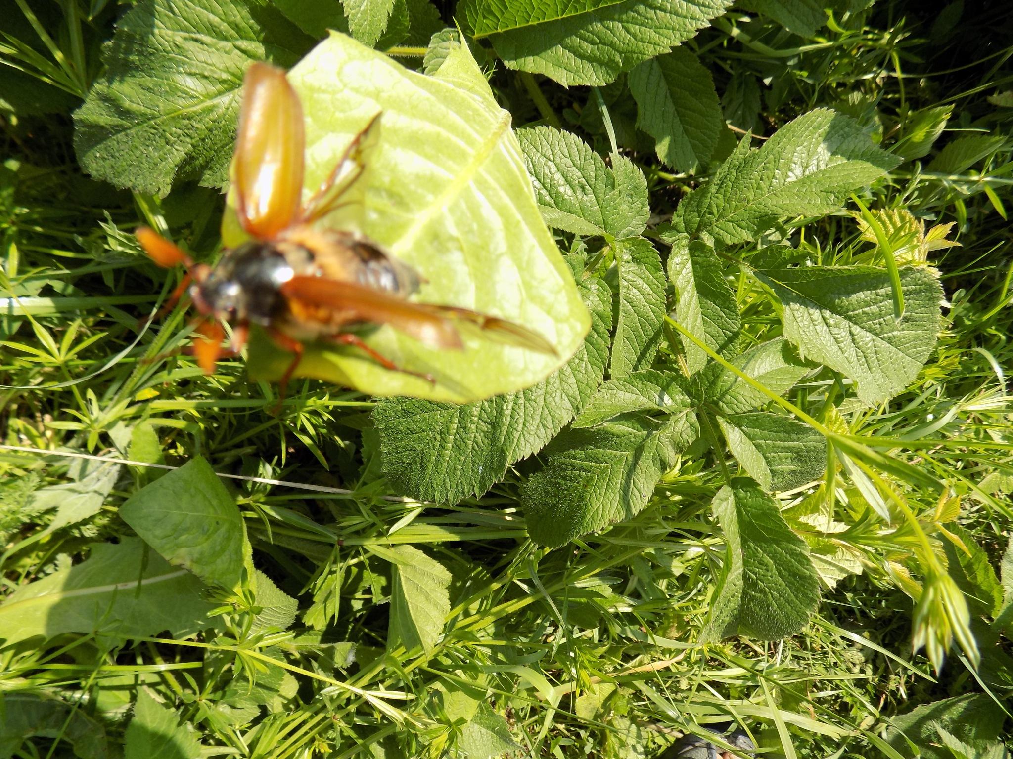 Beetle before flight. by uzkuraitiene62