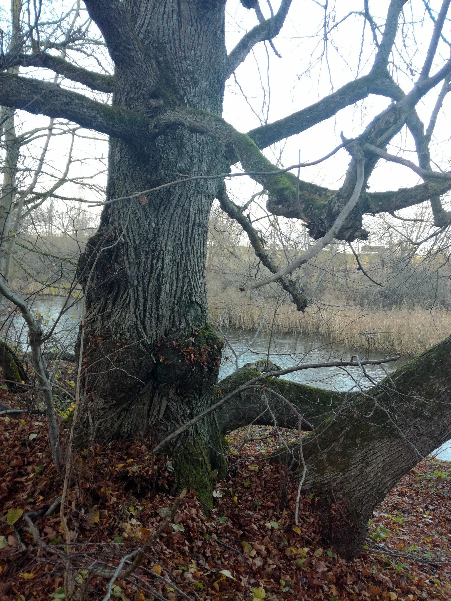 Old tree by uzkuraitiene62