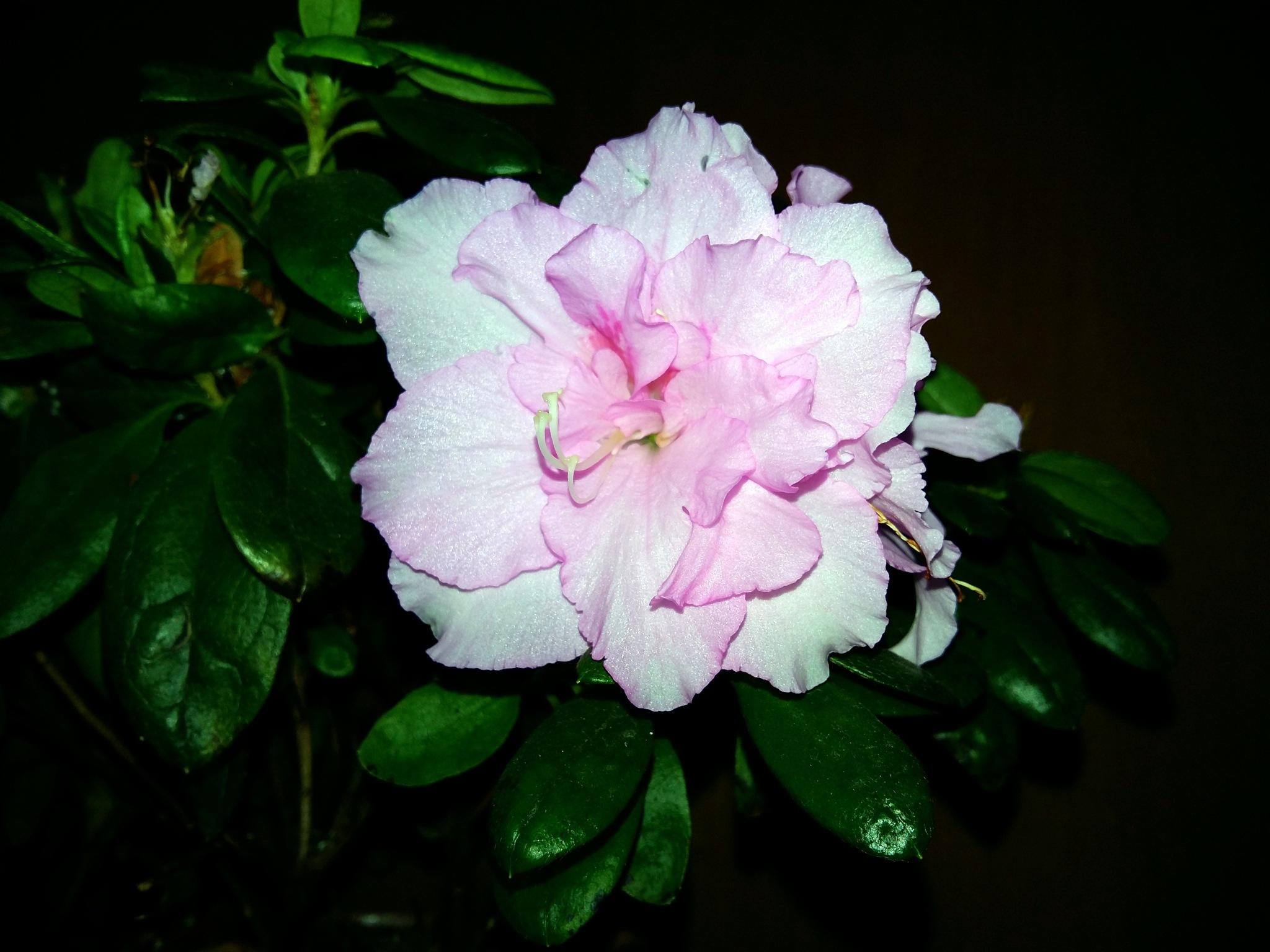 My flower by uzkuraitiene62
