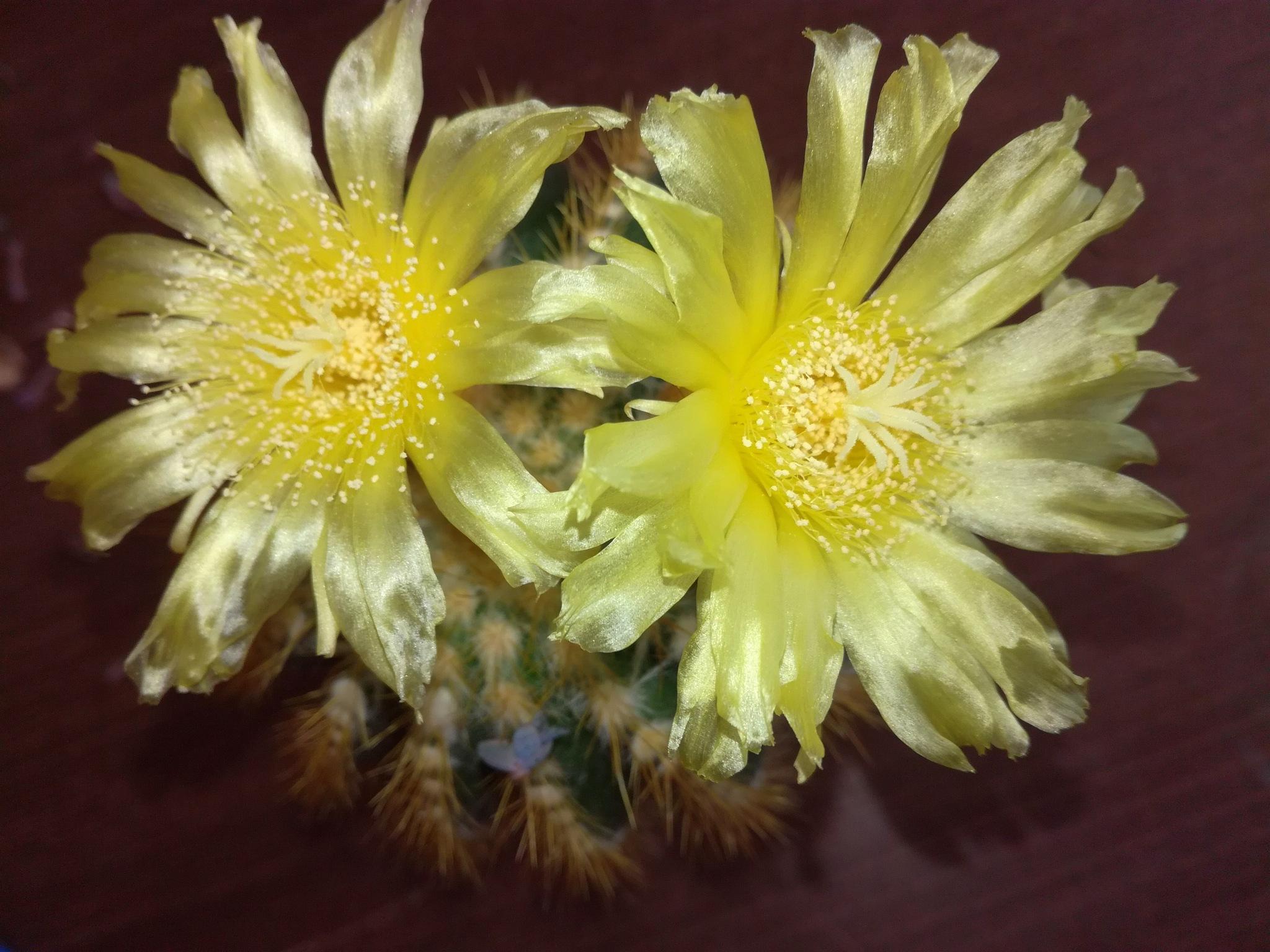 Cactus flower by uzkuraitiene62