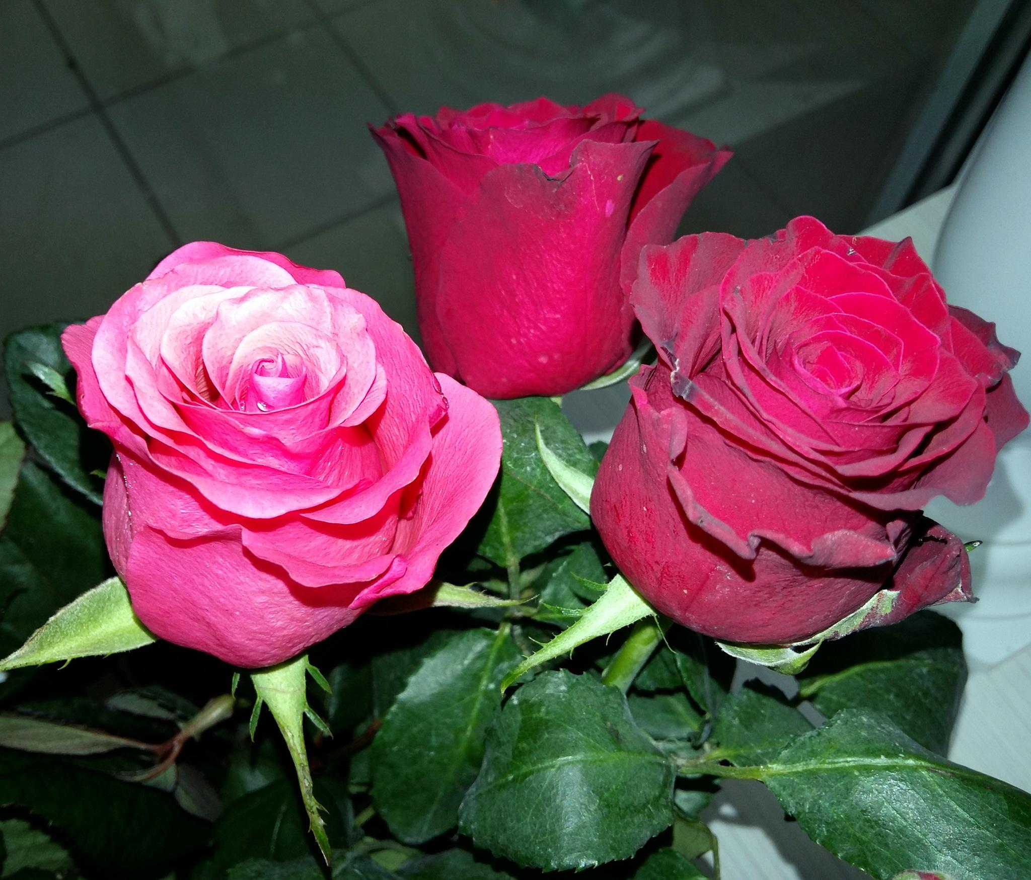 Roses by uzkuraitiene62