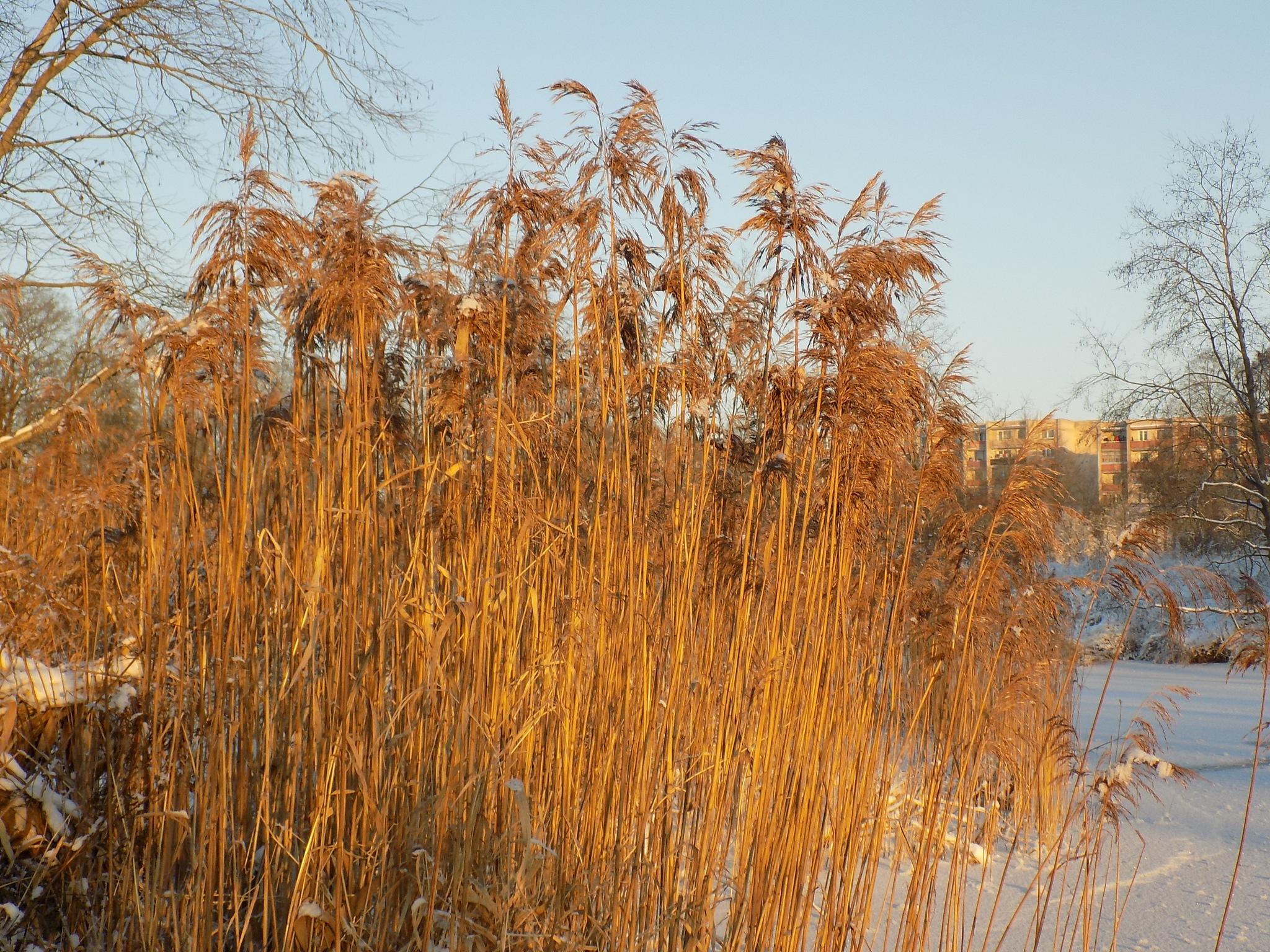 Reeds in winter by uzkuraitiene62