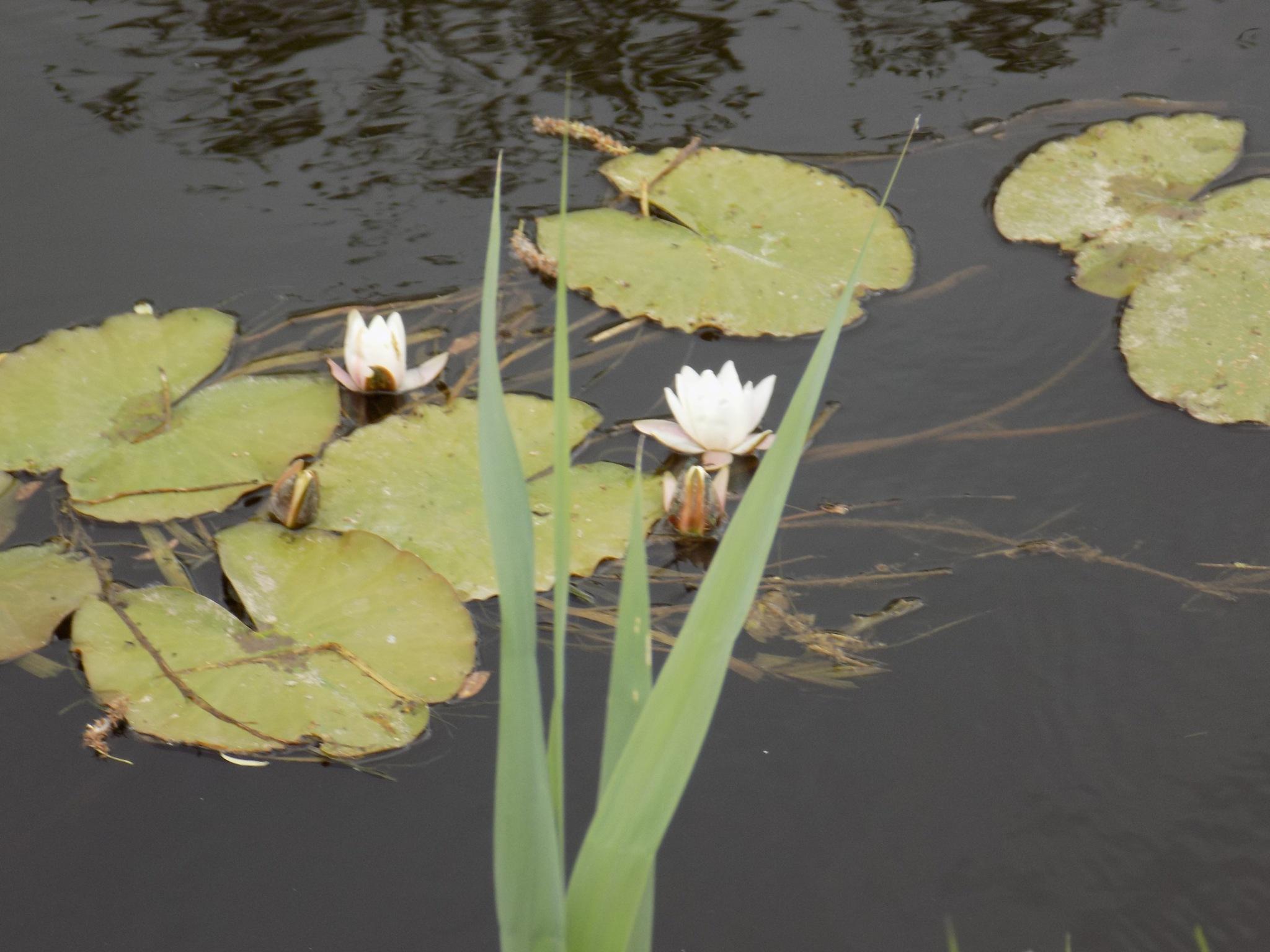 Water lilies. by uzkuraitiene62