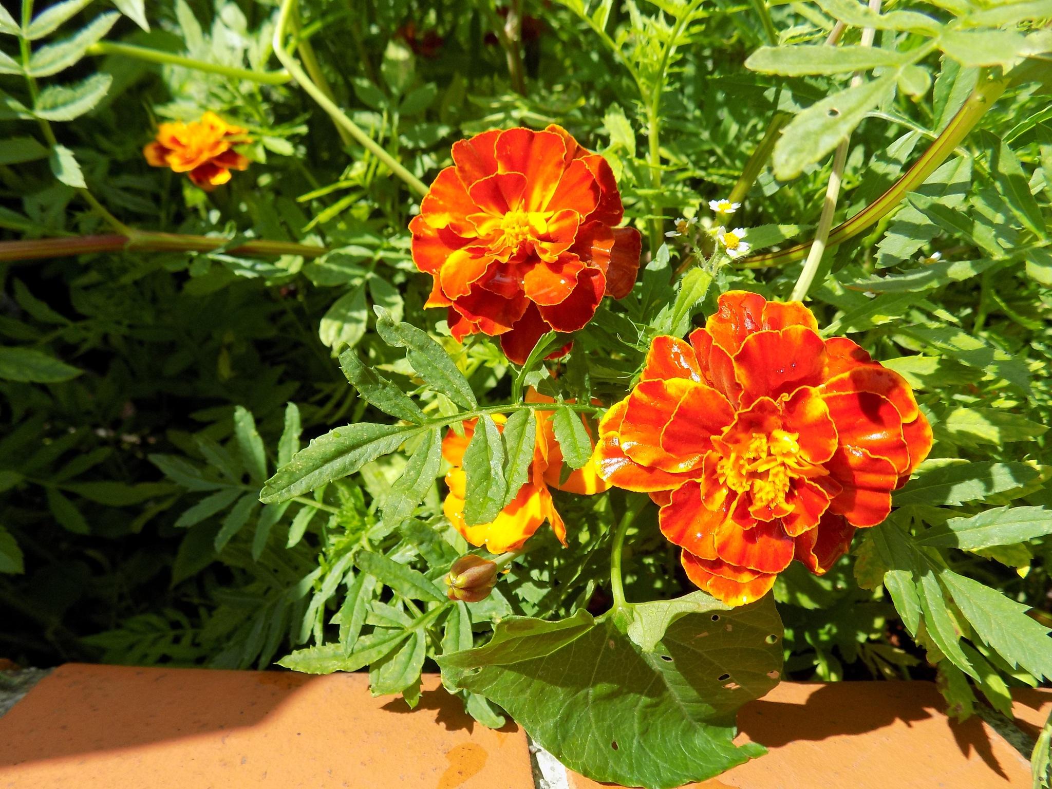 Marigold by uzkuraitiene62