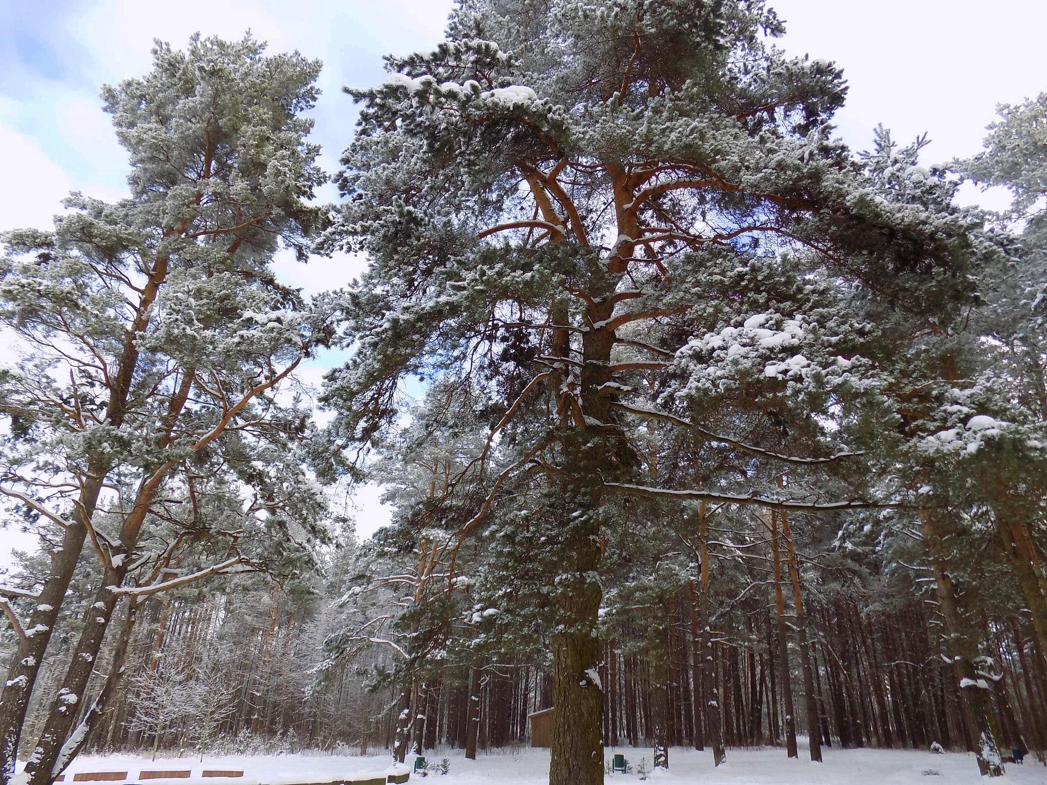 Trees in winter by uzkuraitiene62