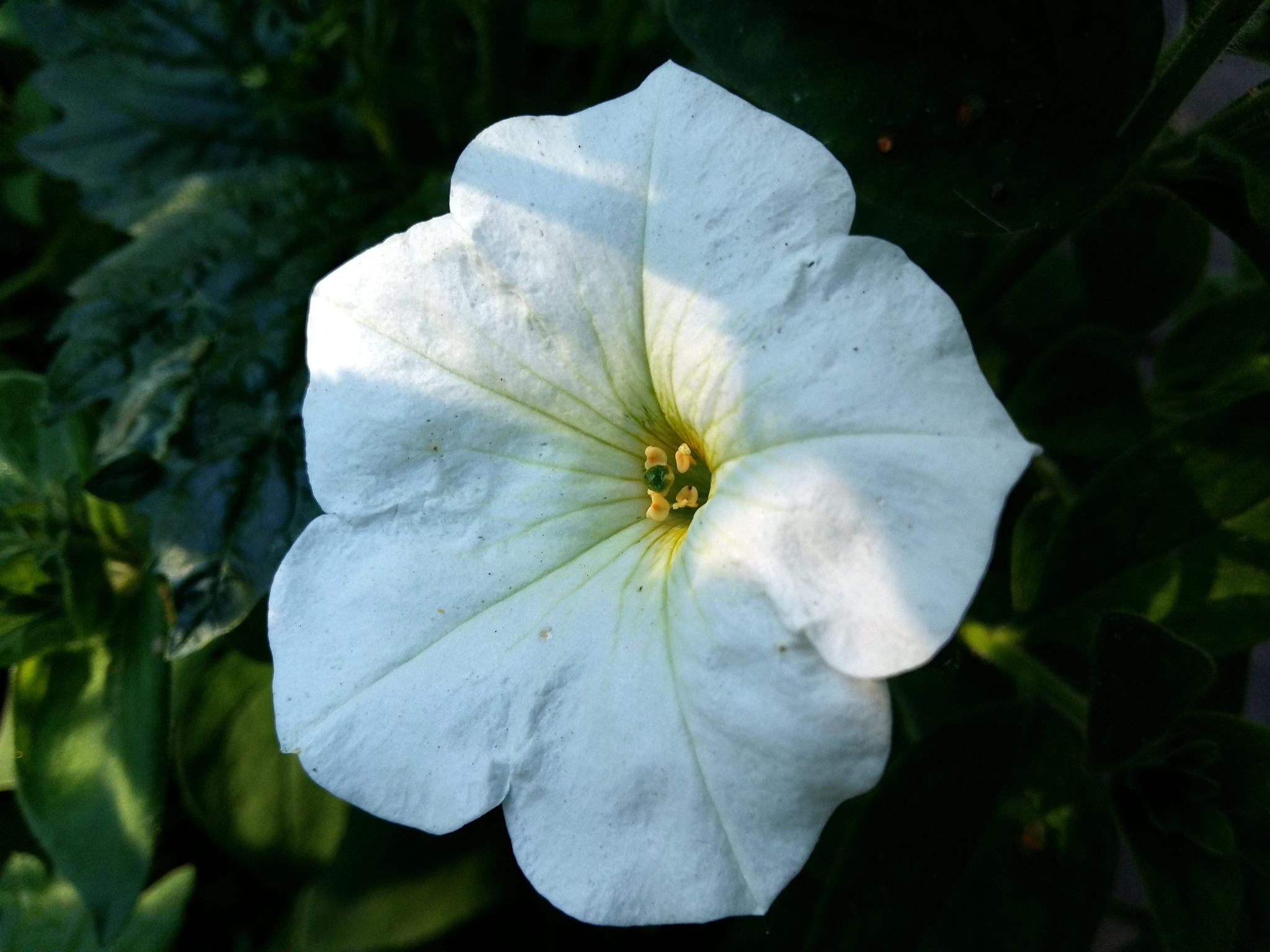 White petunia by uzkuraitiene62