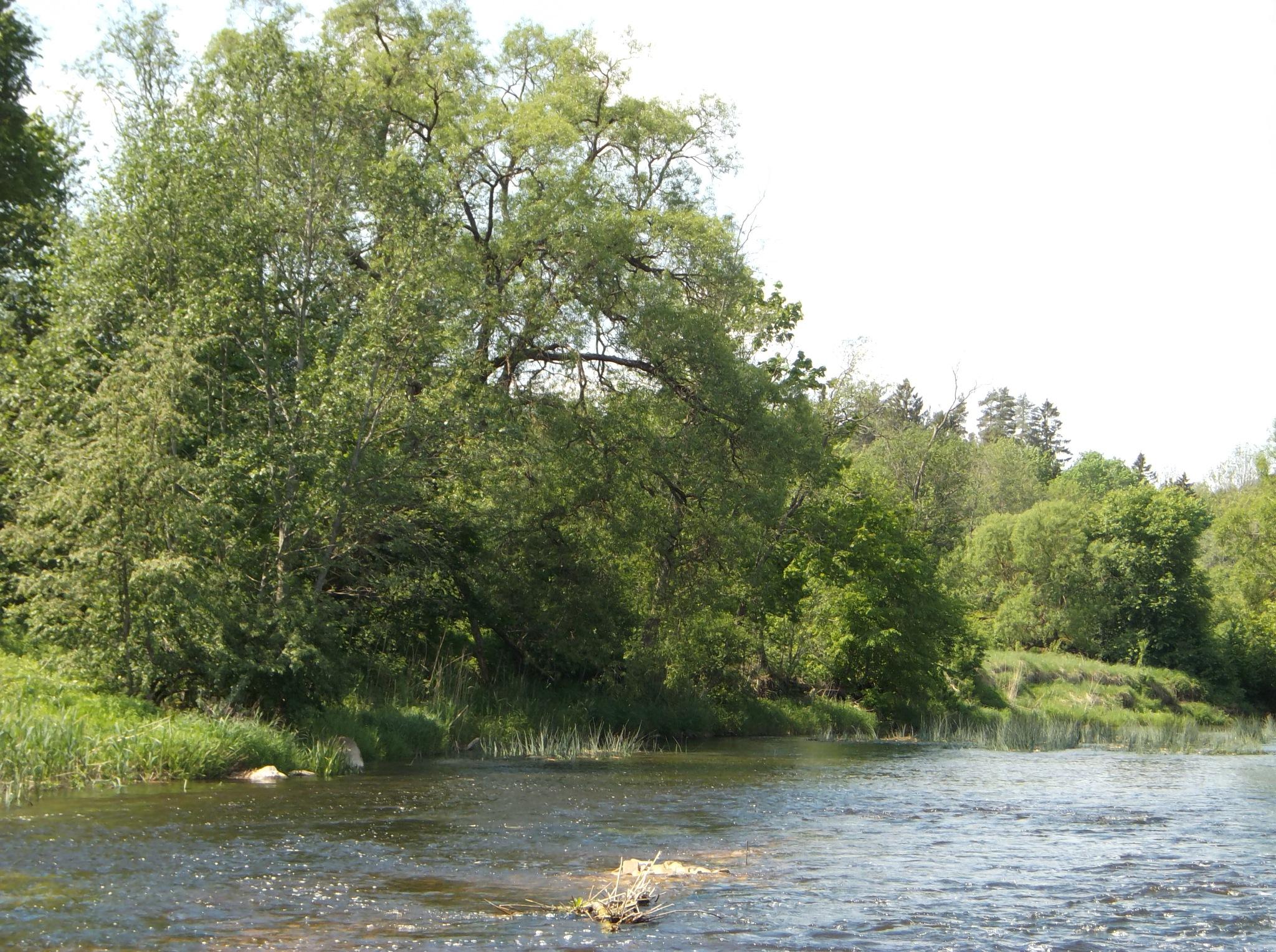 Riverside trees by uzkuraitiene62